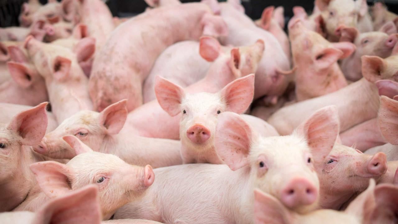 Novo tipo de coronavírus encontrado em porcos pode infectar seres humanos