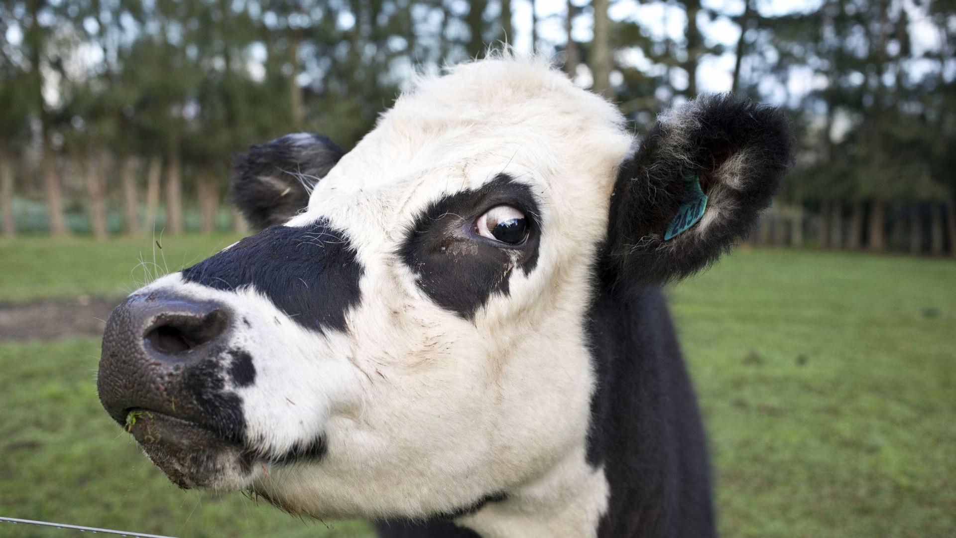"""""""Peido de vaca"""" polui mais do que automóveis"""