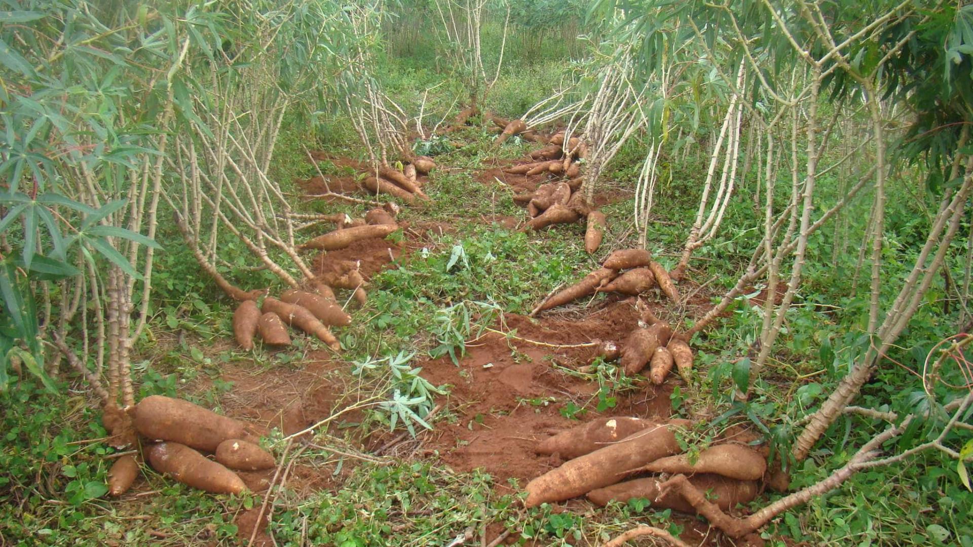 Ladrões de mandioca caem em armadilha montada por agricultor