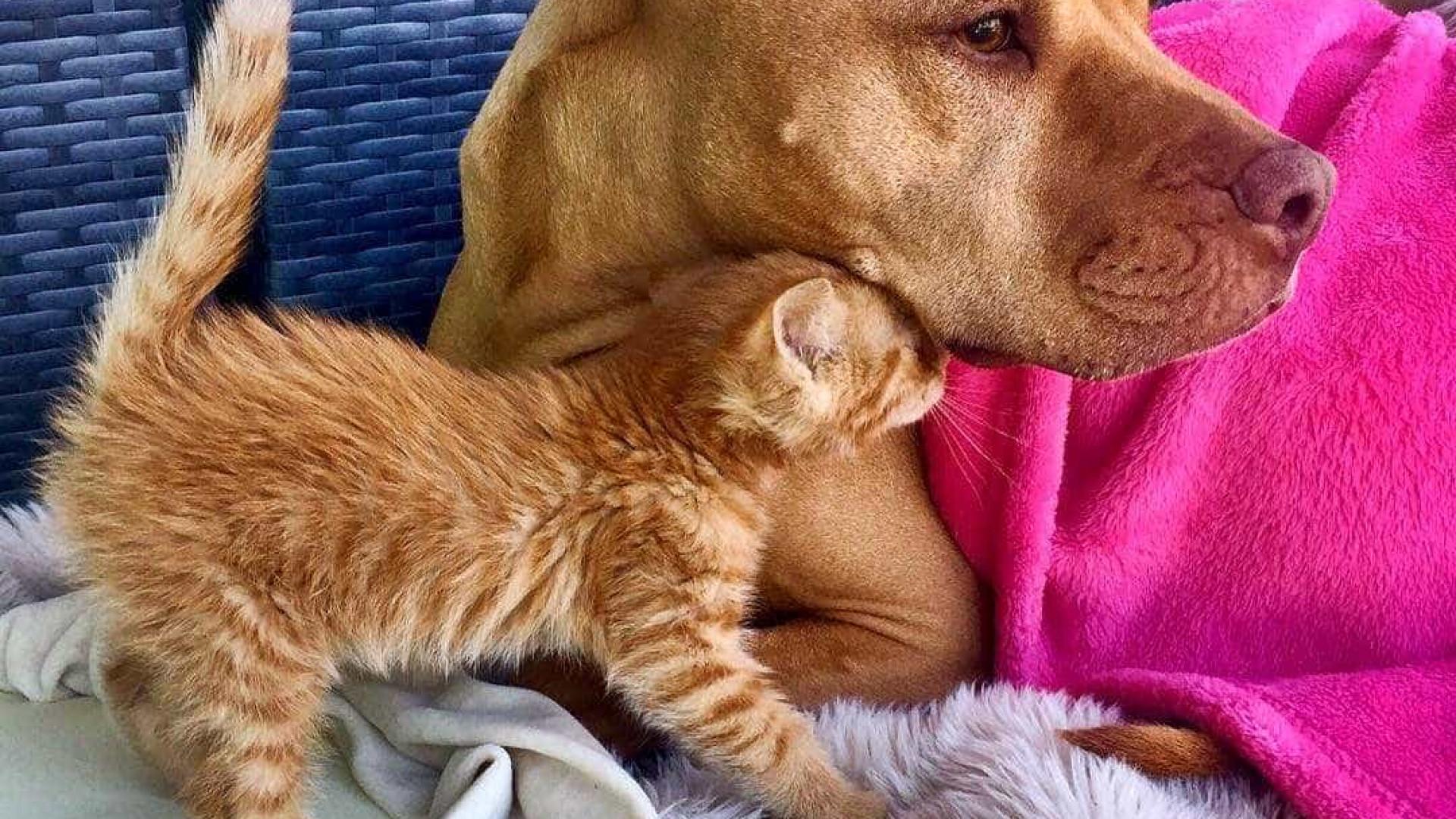 Pitbull resgatado cuida de pequeno gato como se fosse seu próprio filhote