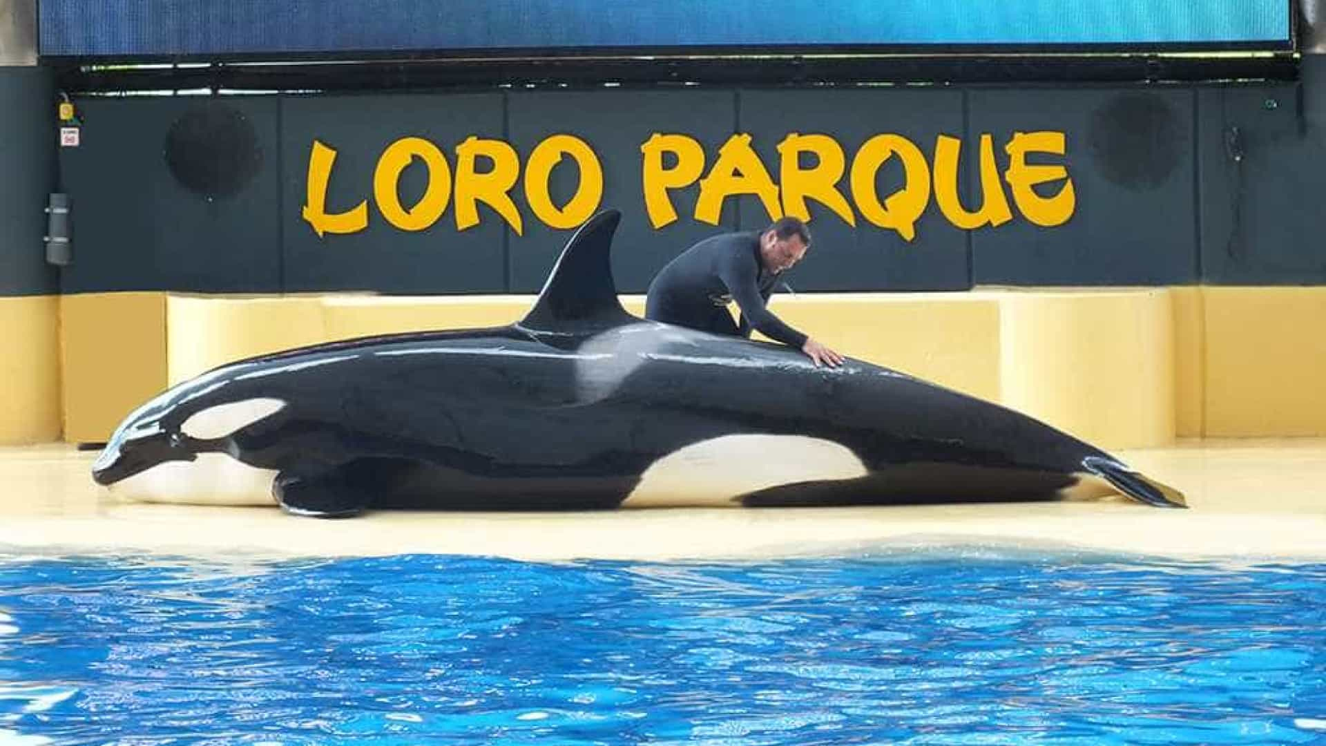 Orca fica fora d'água por 10 minutos em tentativa de suicídio