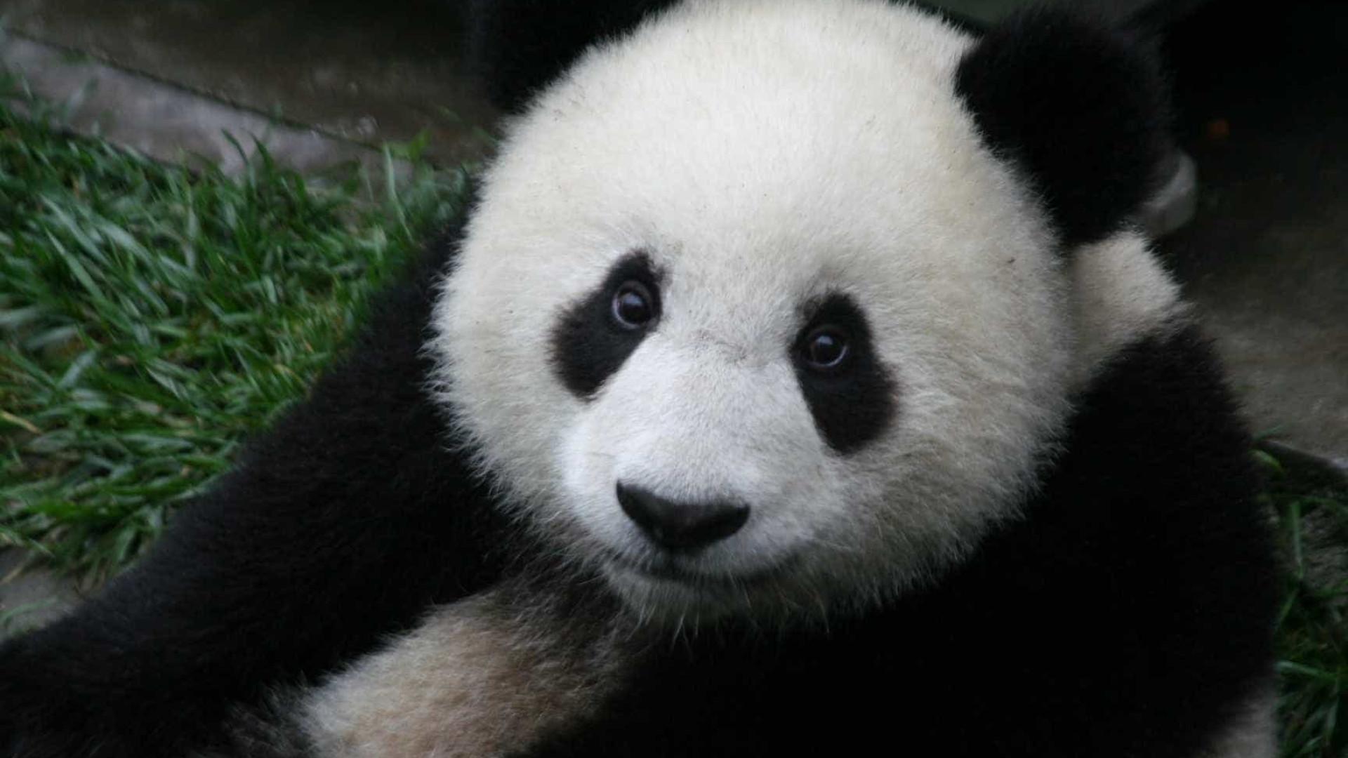 Panda realiza rotina do solo de ginástica e público enlouquece