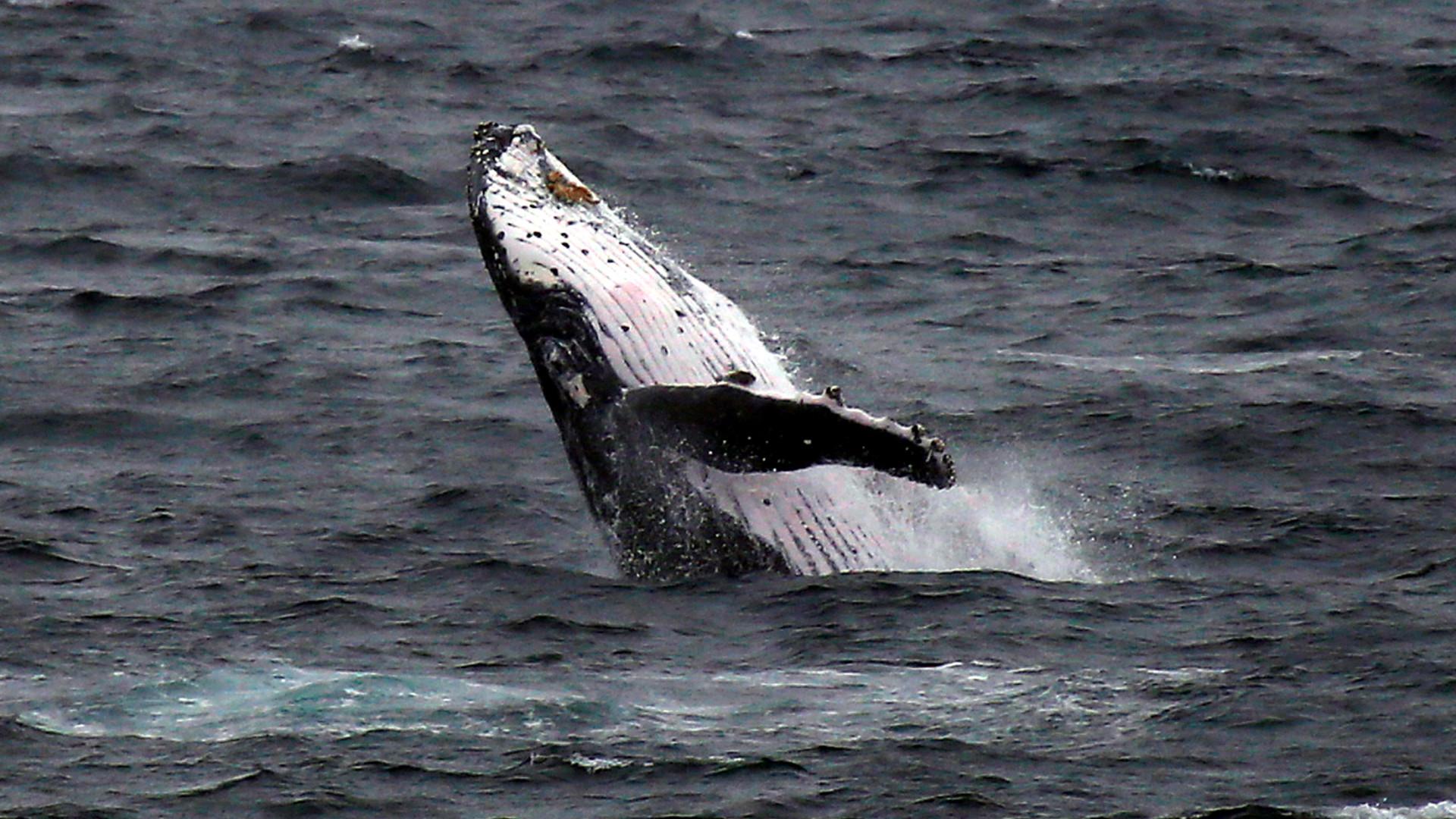 Ambientalistas e petroleiros protegem baleias na Rússia