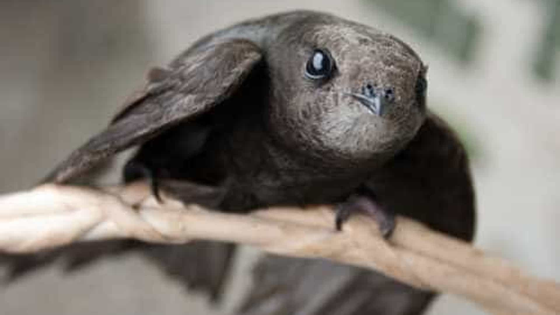 Pássaro consegue voar 10 meses sem tocar o chão