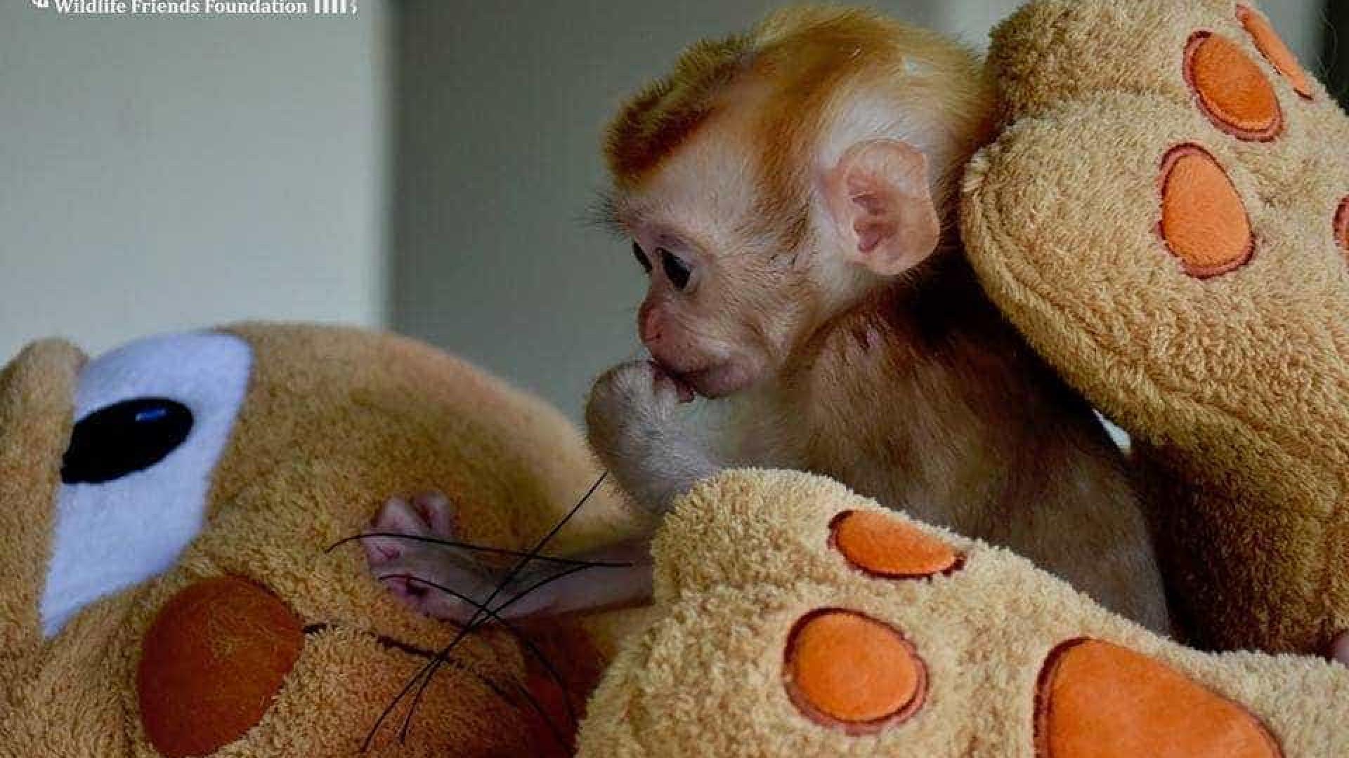 Macaco que viu massacre da família se conforta com bichos de pelúcia