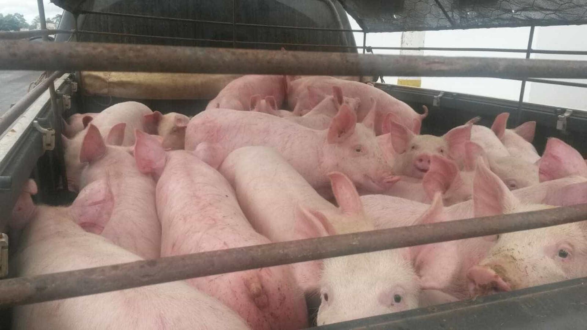 Motorista é multado por amontoar 32 porcos em pequena caminhonete
