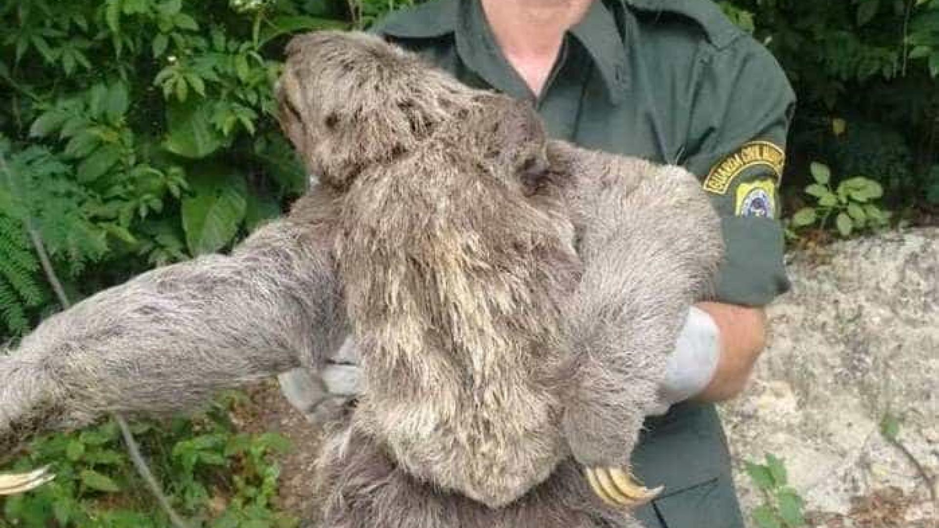 Bicho-preguiça e filhote são resgatados em Niterói
