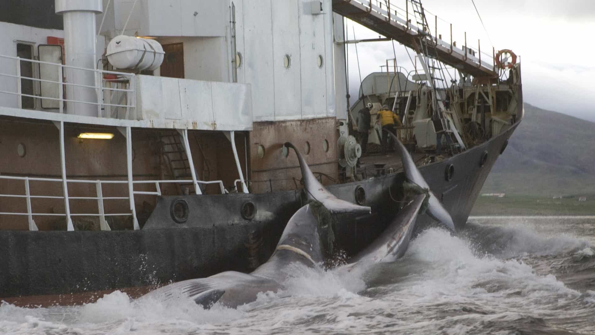 Japão pede saída de comissão para retorno à caça de baleias