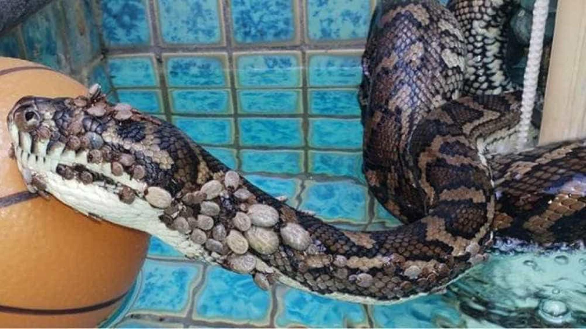 Cobra encontrada com 511 carrapatos passa por tratamento para anemia