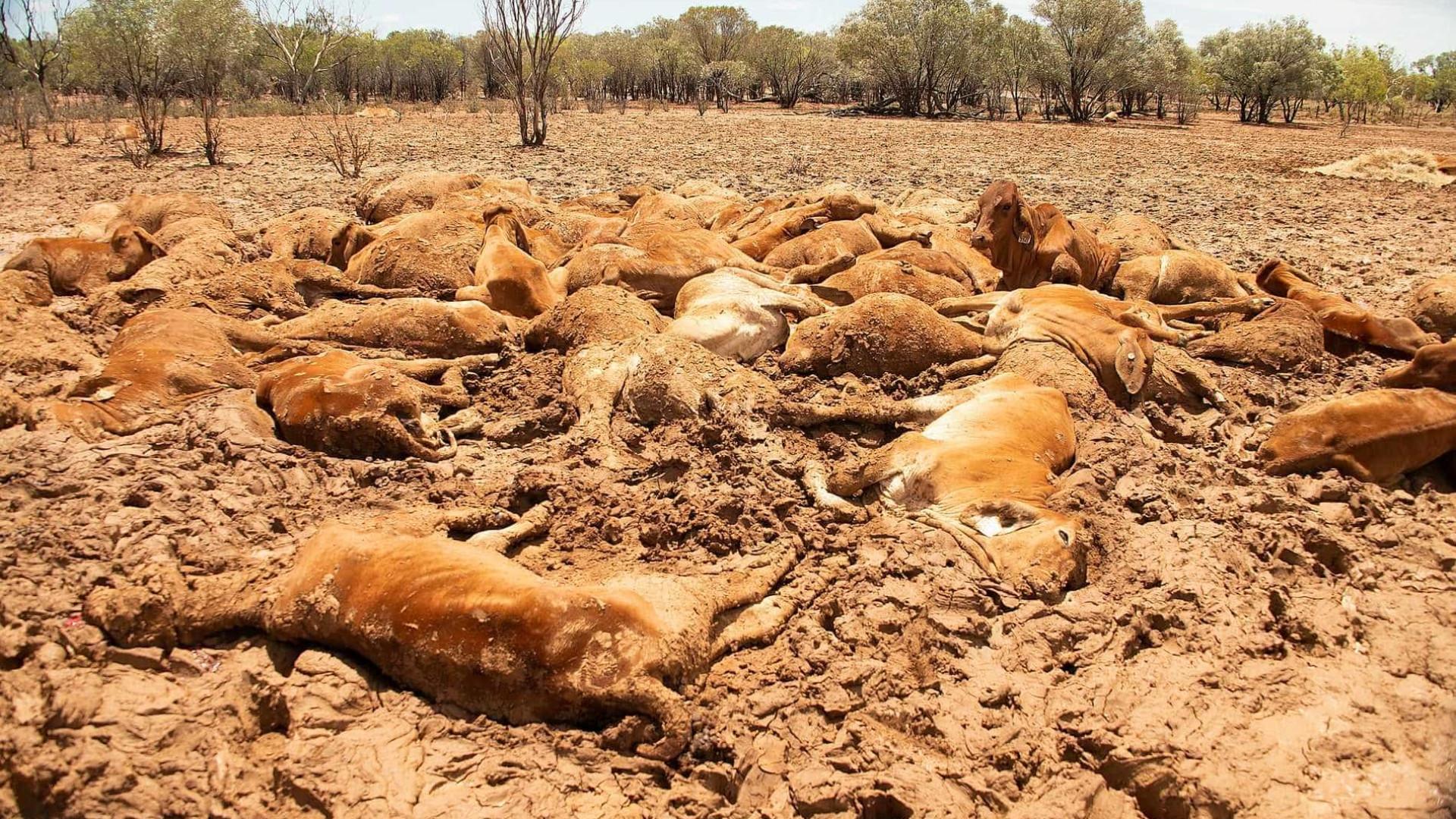 Enchente bizarra na Austrália mata meio milhão de cabeças de gado