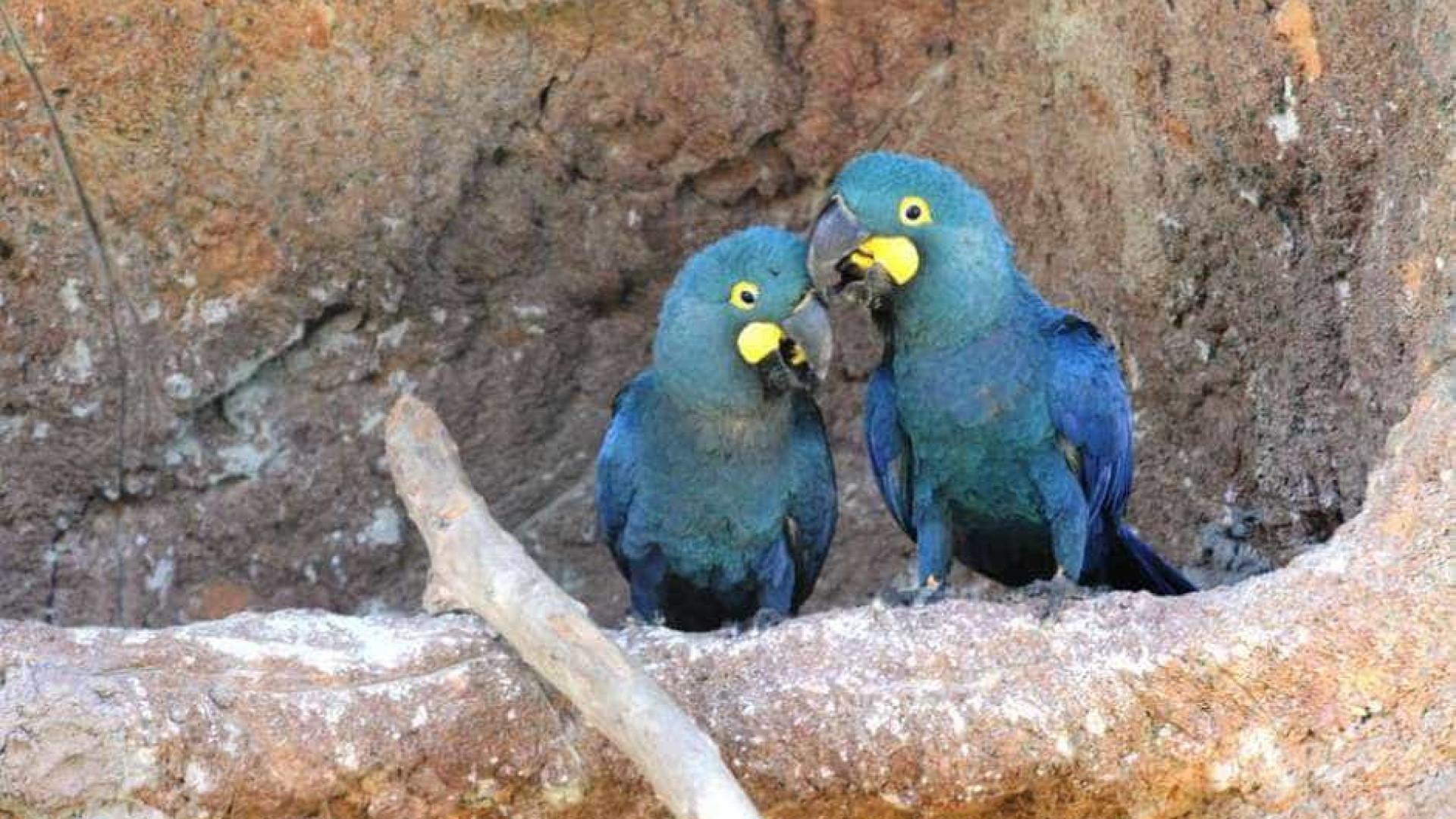 Arara-azul-de-lear tem filhotes em unidade do zoo de São Paulo