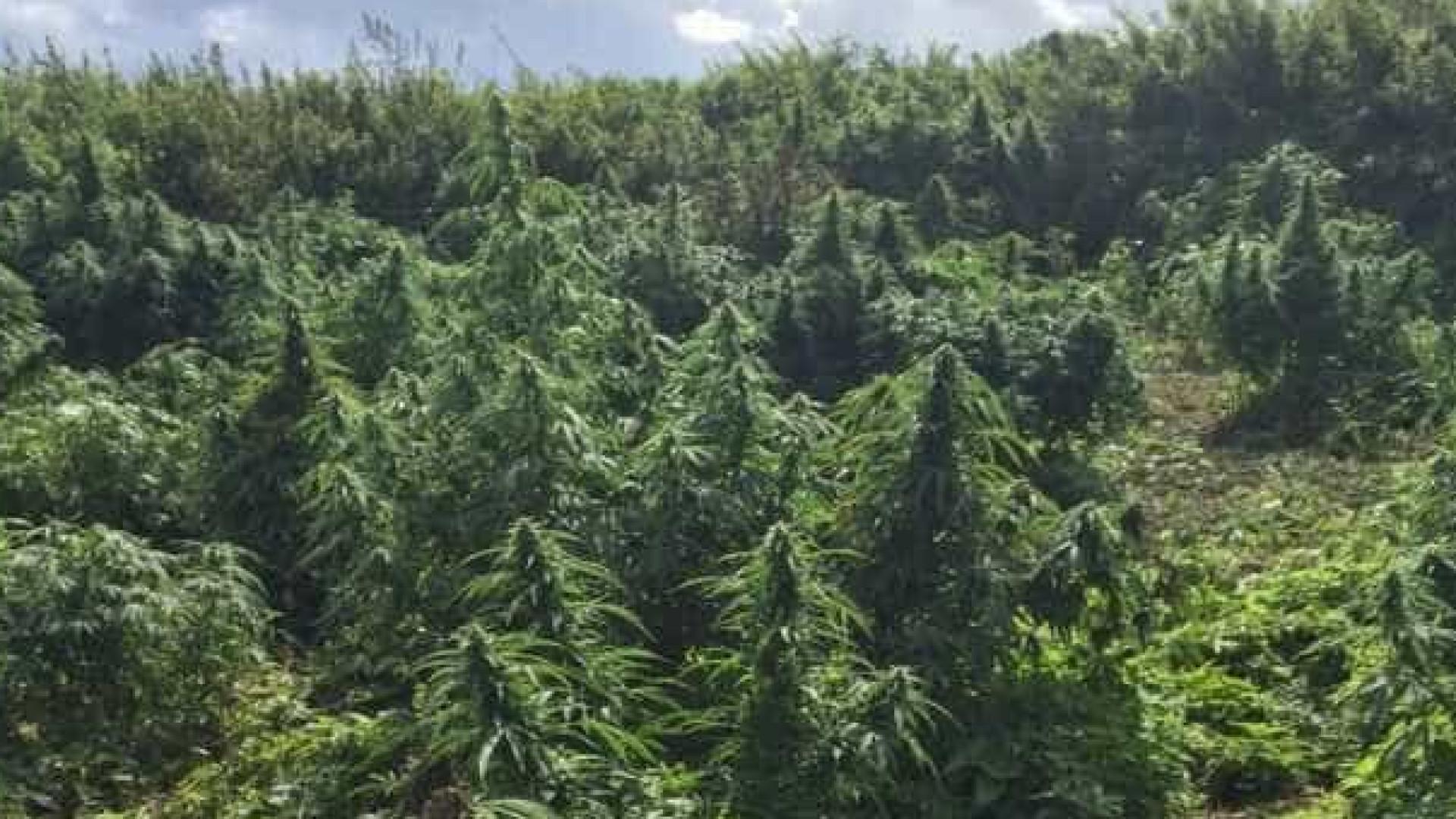 PF destrói plantação de 248 mil pés de maconha no sertão