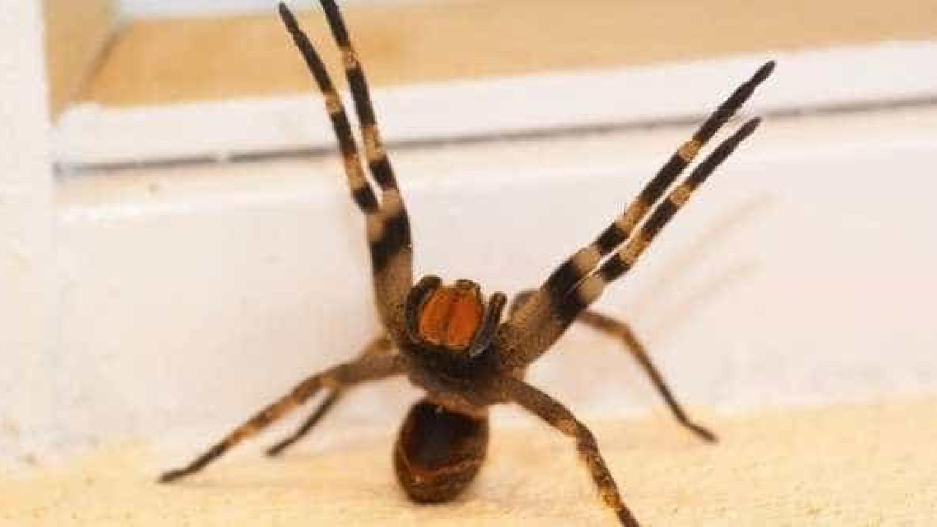 Picada de aranha provoca ereção de até quatro horas