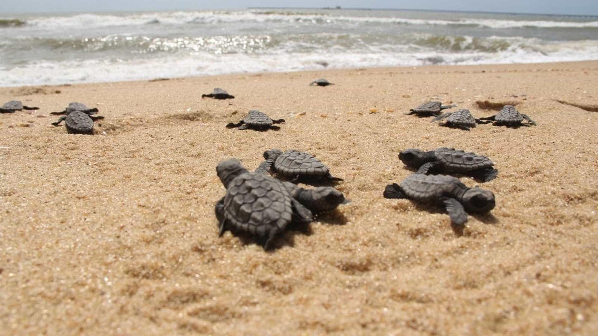 Projeto Tamar deixa de lançar 800 tartarugas em Sergipe