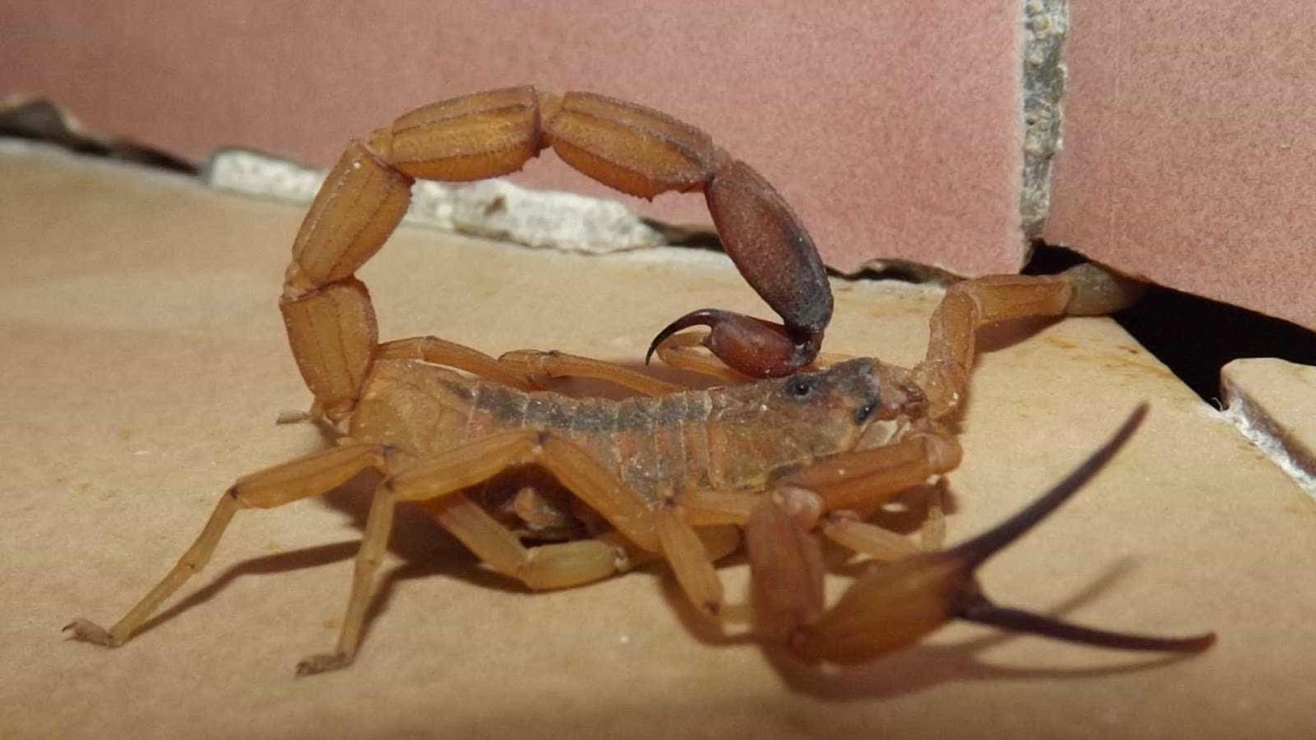 Menina de 6 anos morre após ser picada por escorpião em SP