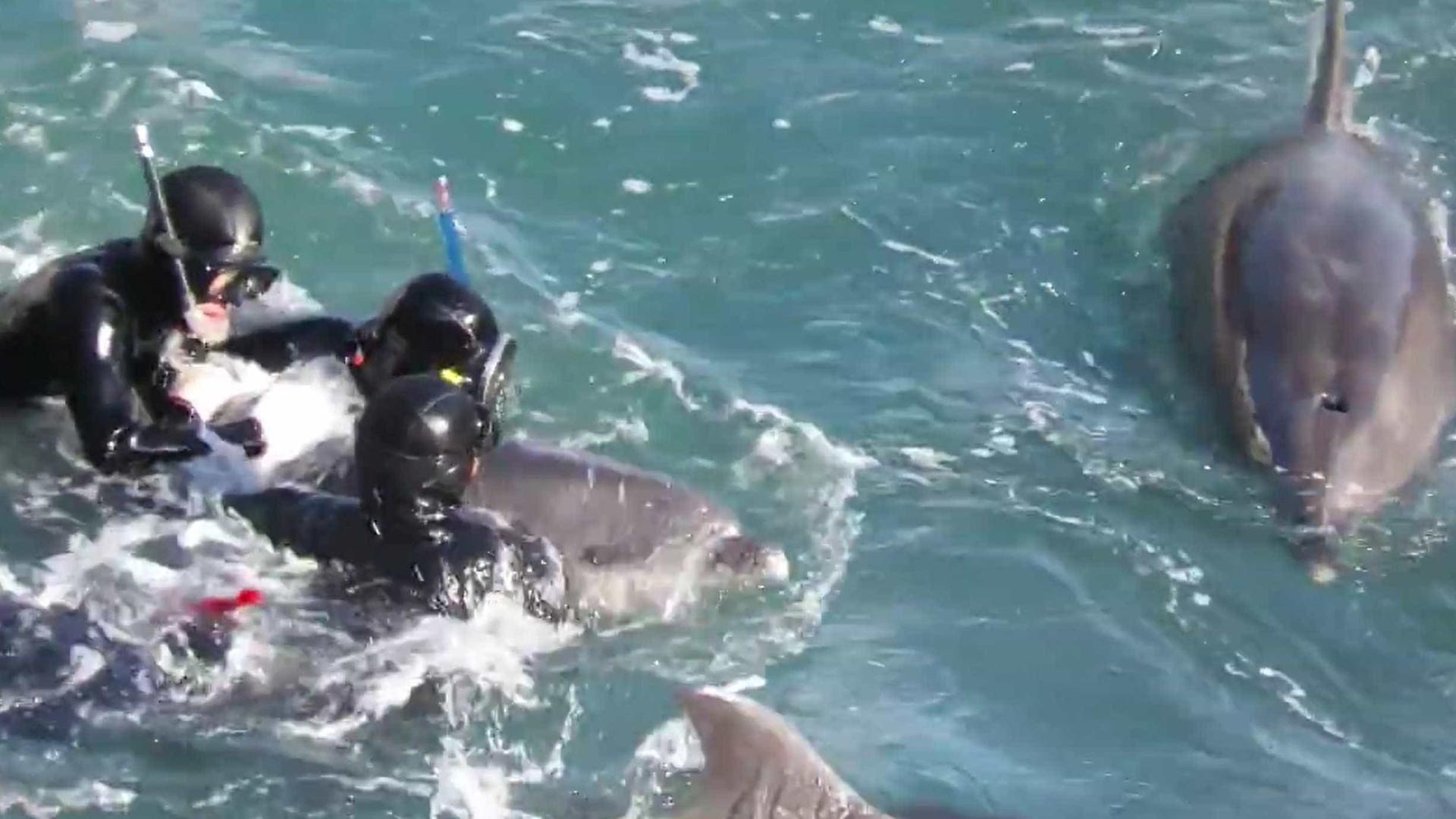 Golfinho luta com mergulhadores para tentar salvar filhote; veja