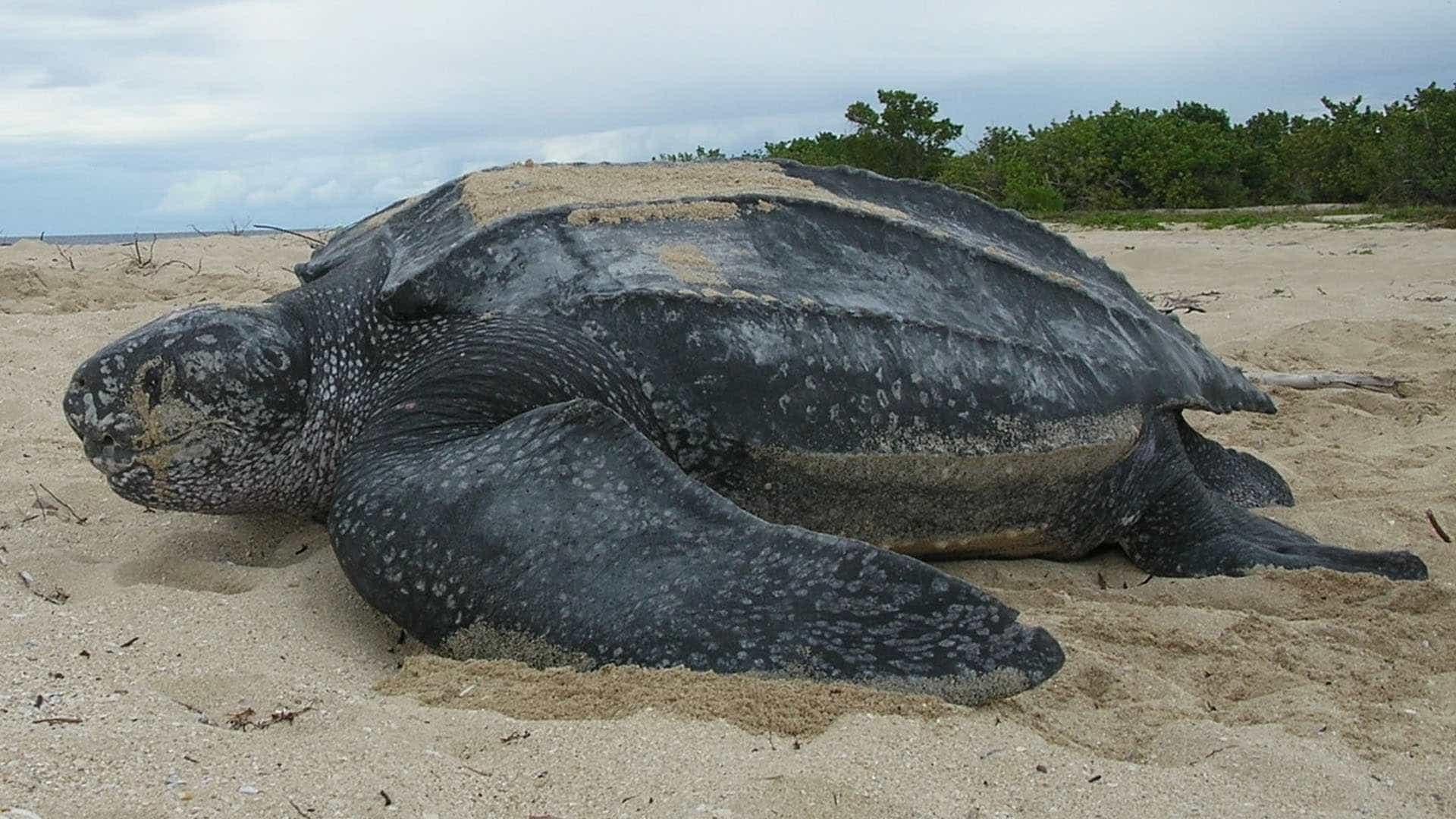 5ª tartaturga gigante é encontrada morta  em praia do Rio