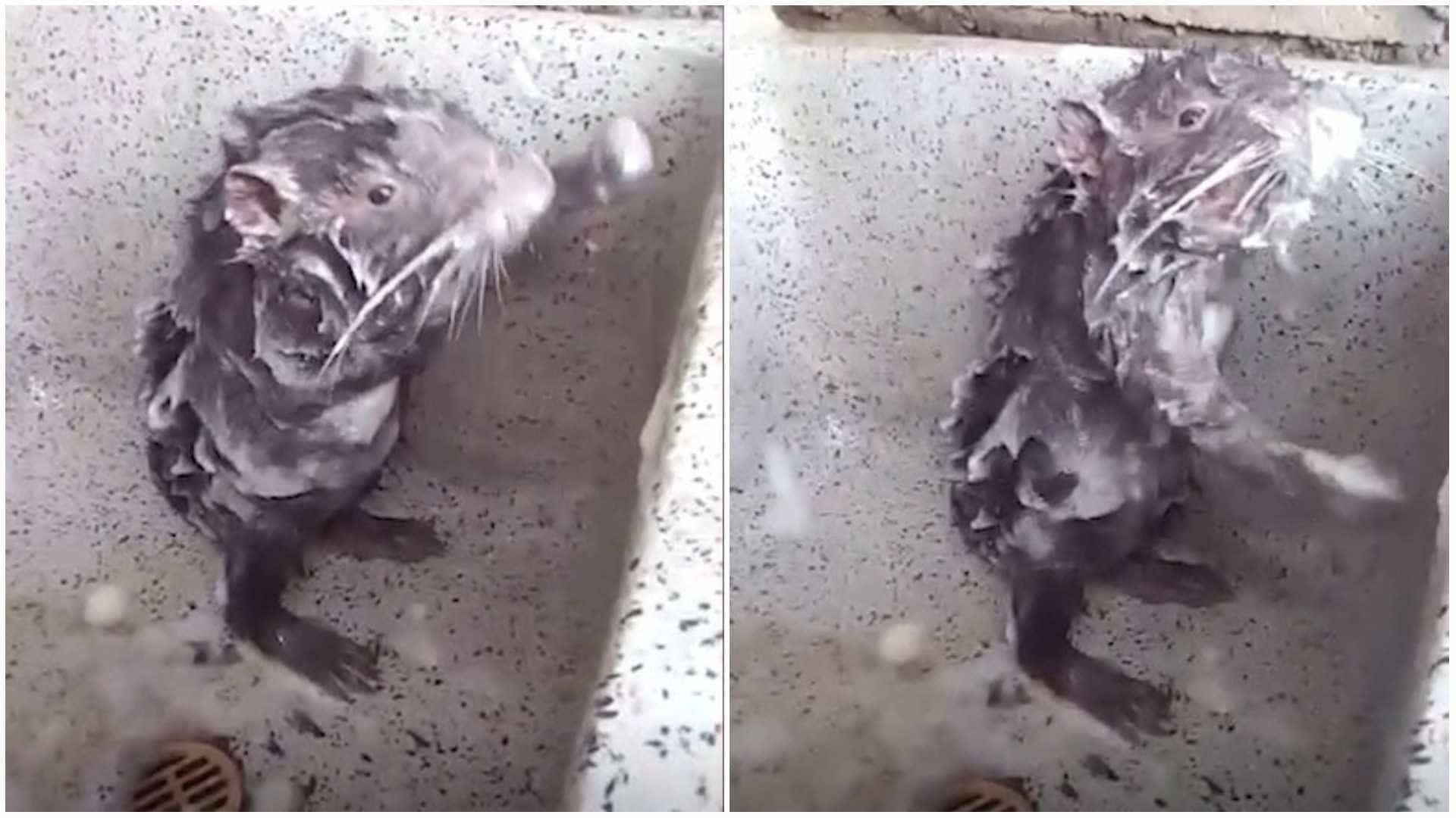 Inacreditável! rato toma banho como se fosse humano no Peru