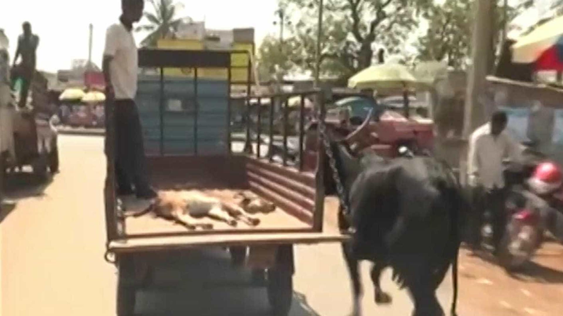 Vaca segue caminhonete que transportava seu filhote ao veterinário