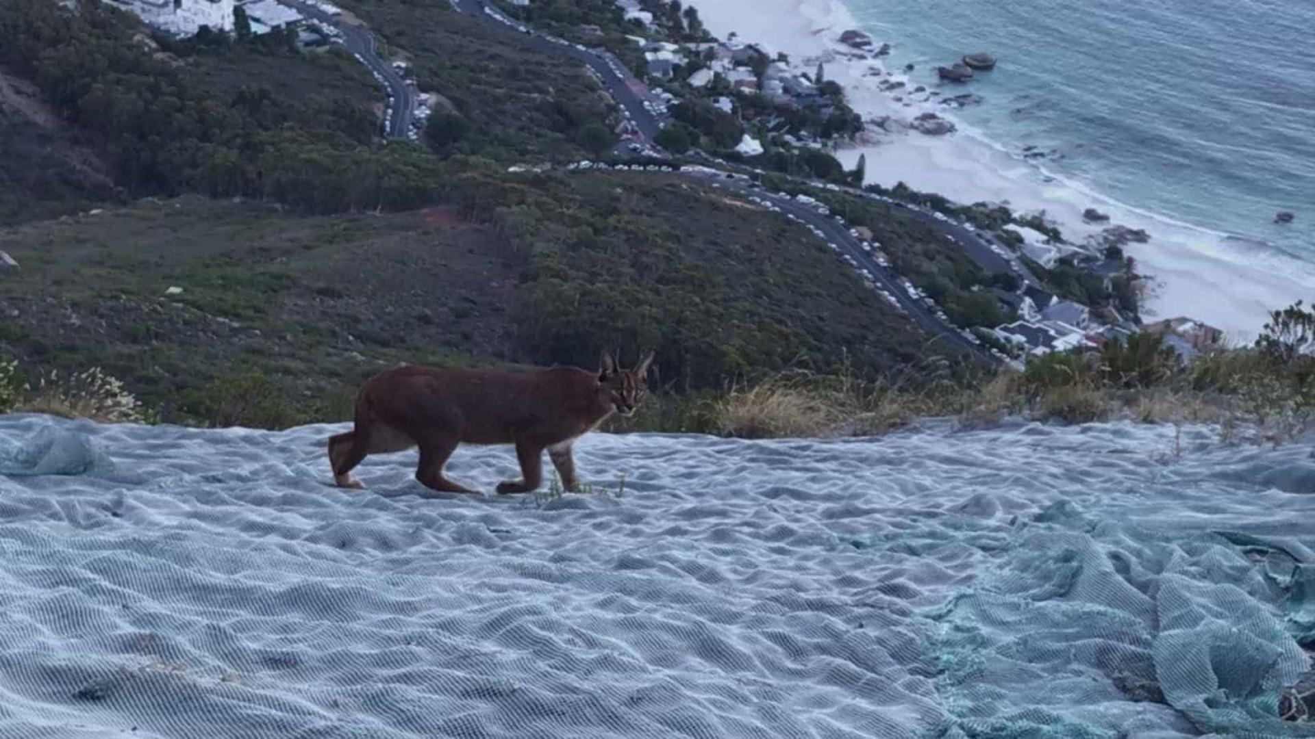 Aparição rara de Gato Caracal é registrada na África do Sul