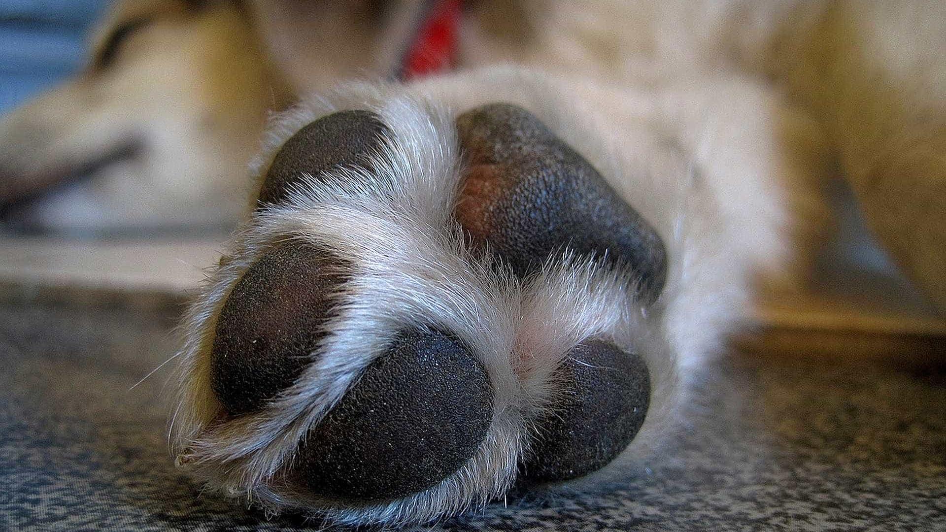 PMs prendem suspeito de atirar em cadela e socorrem animal em SP
