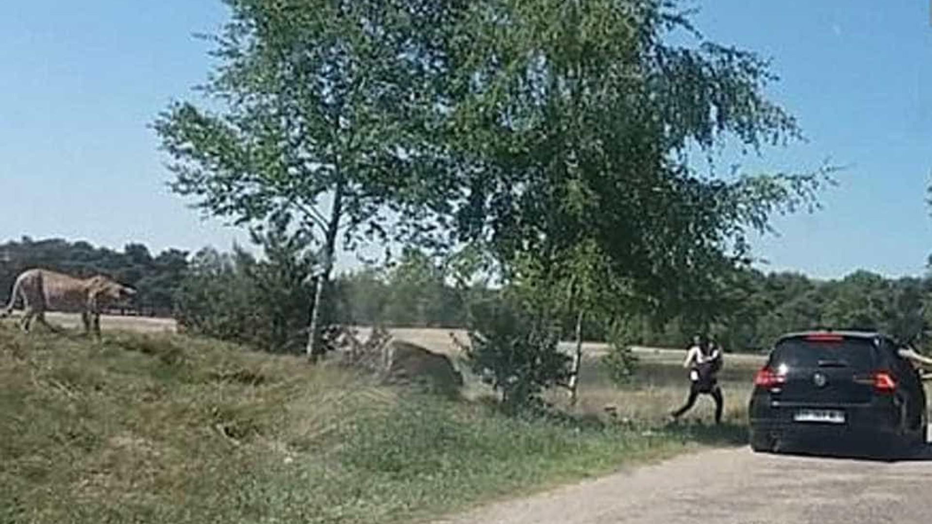 Família é perseguida por guepardos durante safari; vídeo