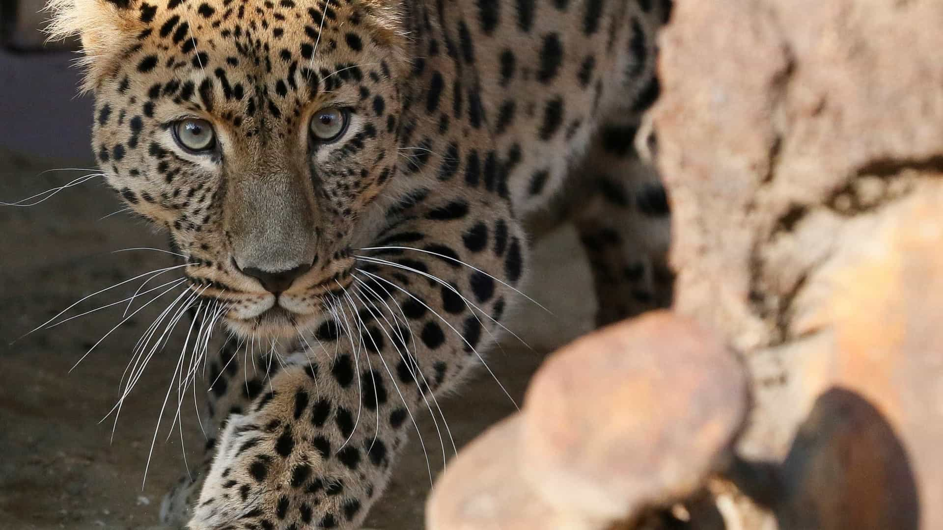 Leopardo brinca com perna de turista durante safári; vídeo