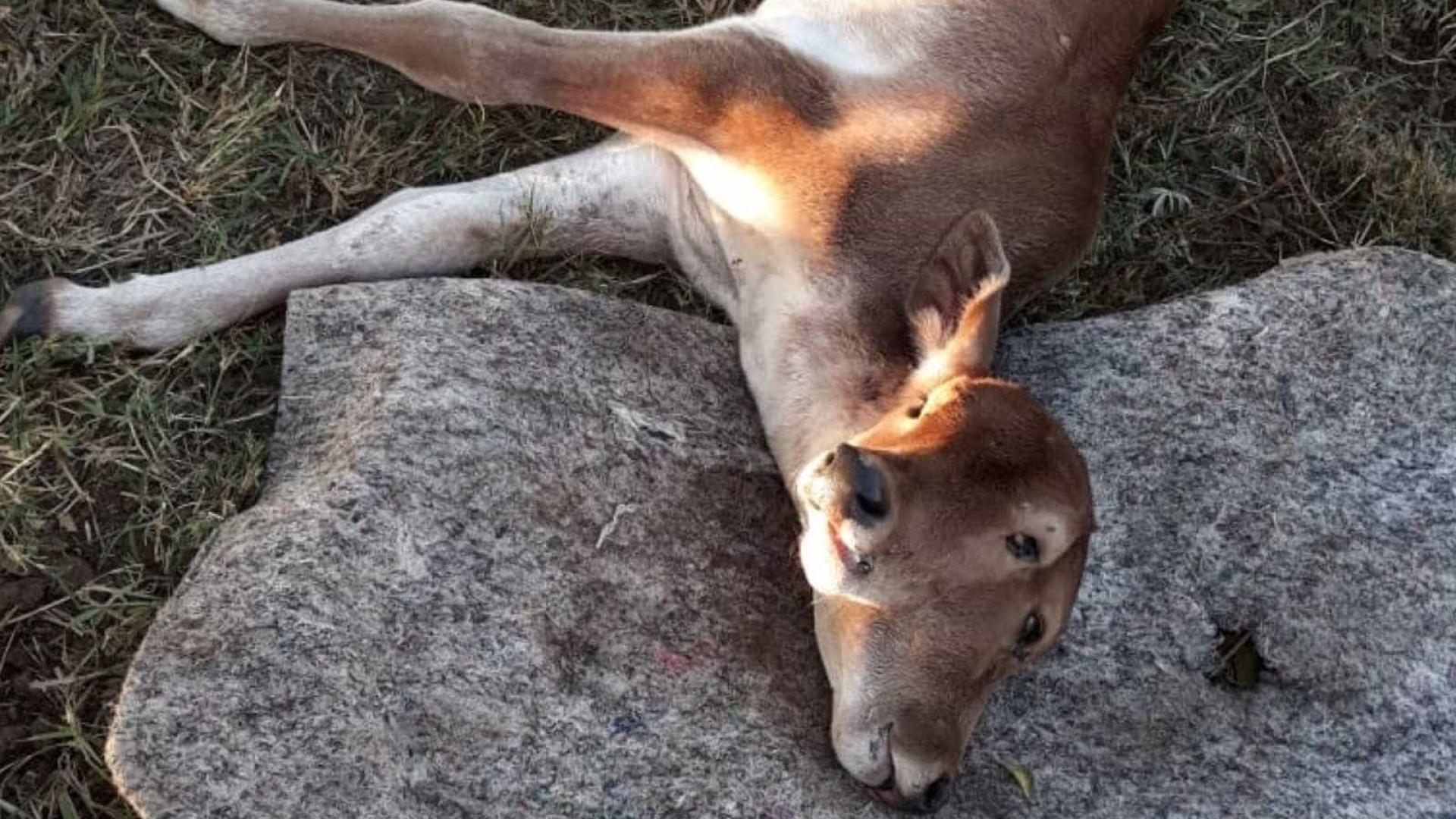Bezerro nasce com duas cabeças em fazenda no interior de Goiás