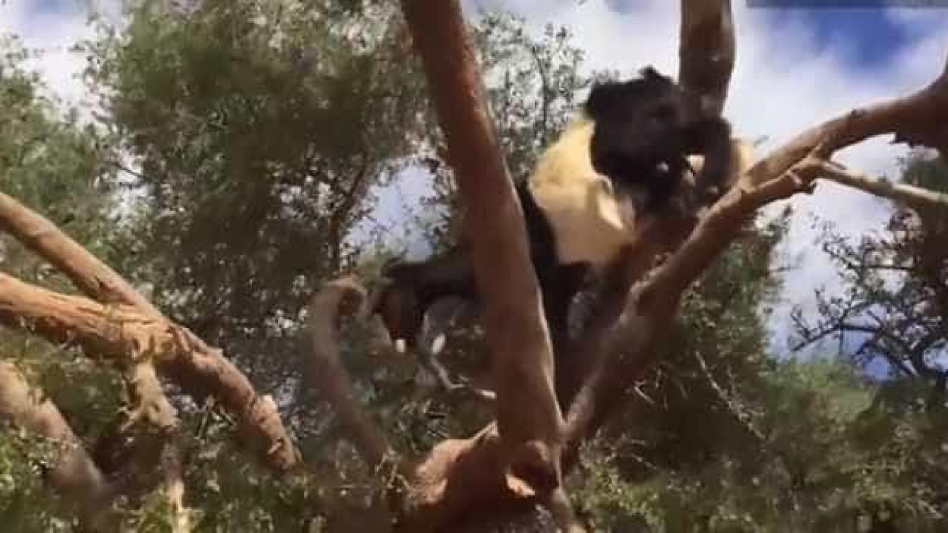 Árvores 'carregadas' de cabras chamam atenção em vídeo