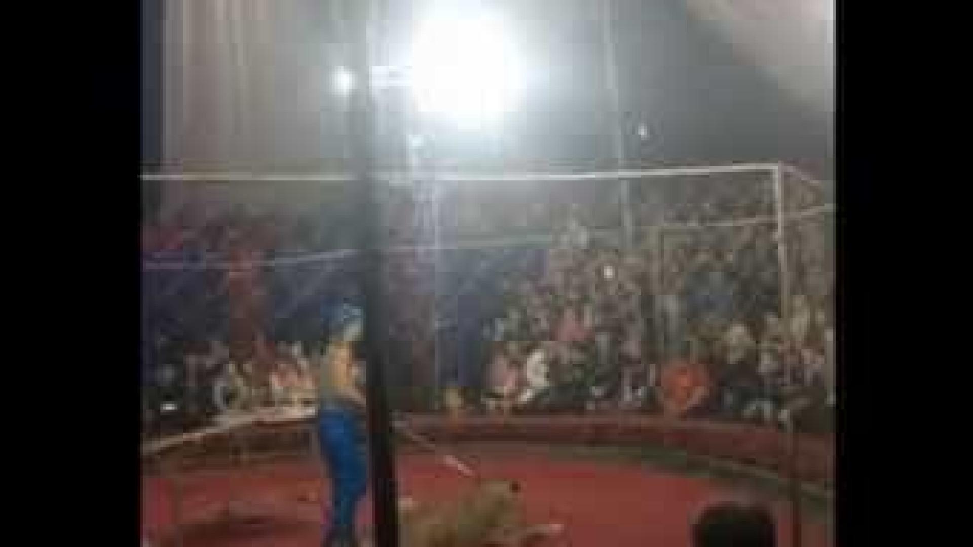 Leoa ataca criança de 3 anos durante espetáculo de circo na Rússia