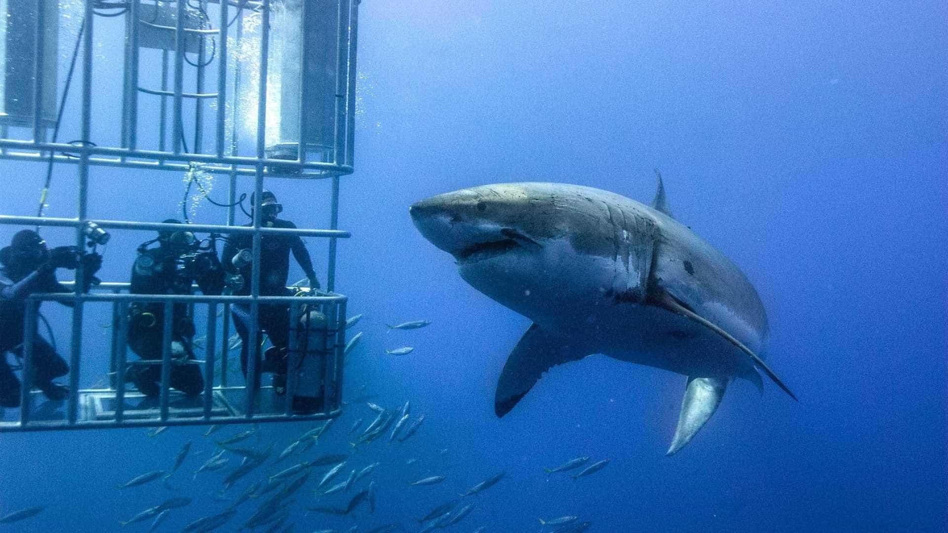 Tubarão-branco gigante de seis metros faz aparição rara no Havaí