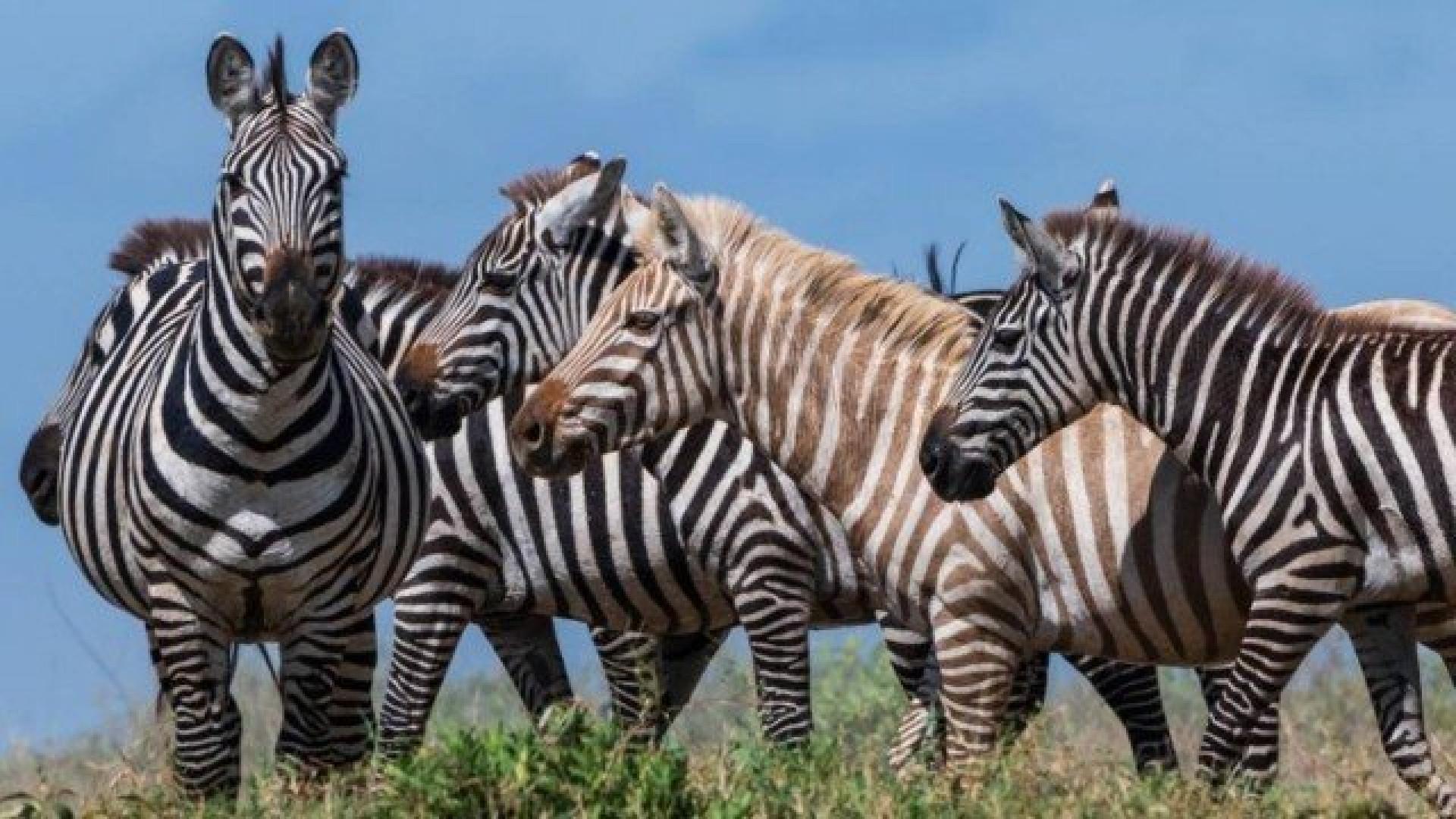 Fotógrafo faz imagem rara de zebra 'loira' em parque da Tanzânia