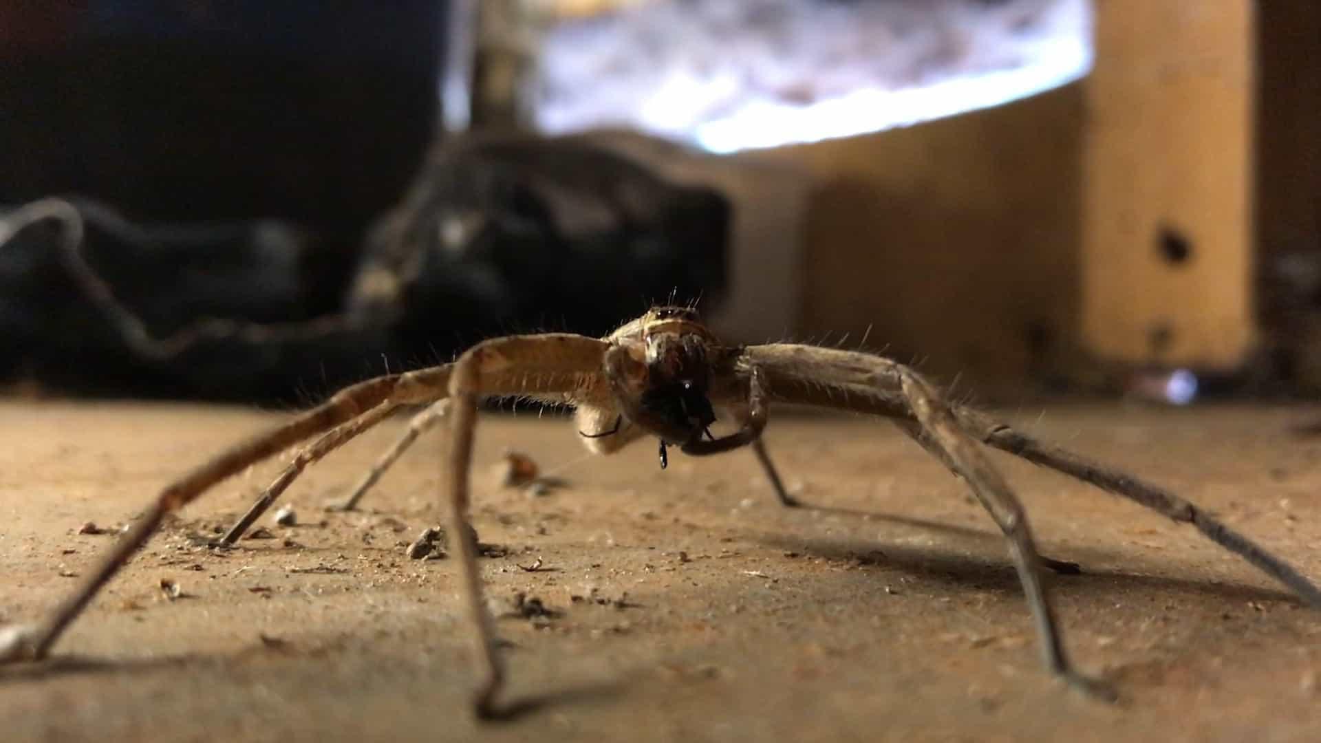 Já viu uma aranha fazendo a sua refeição?