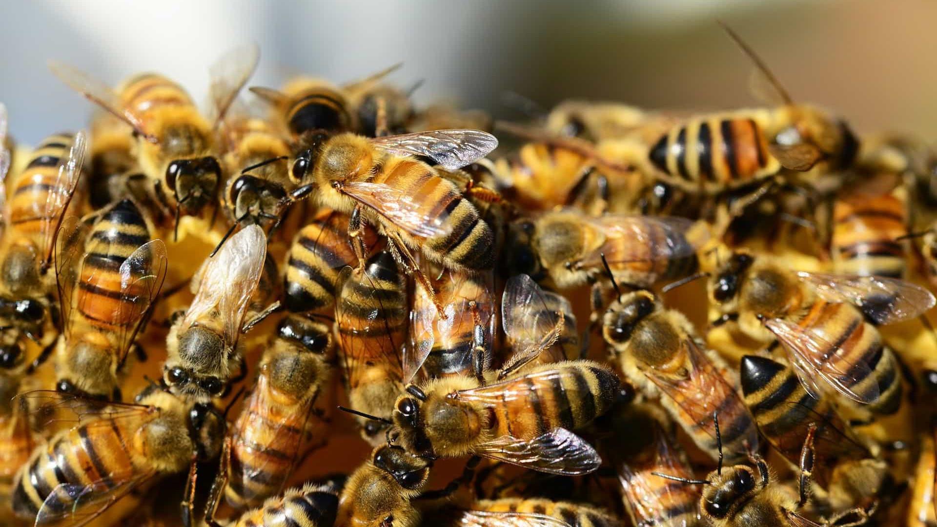 Número de espécies de abelhas observadas na natureza caiu cerca de 25% desde os anos 1990