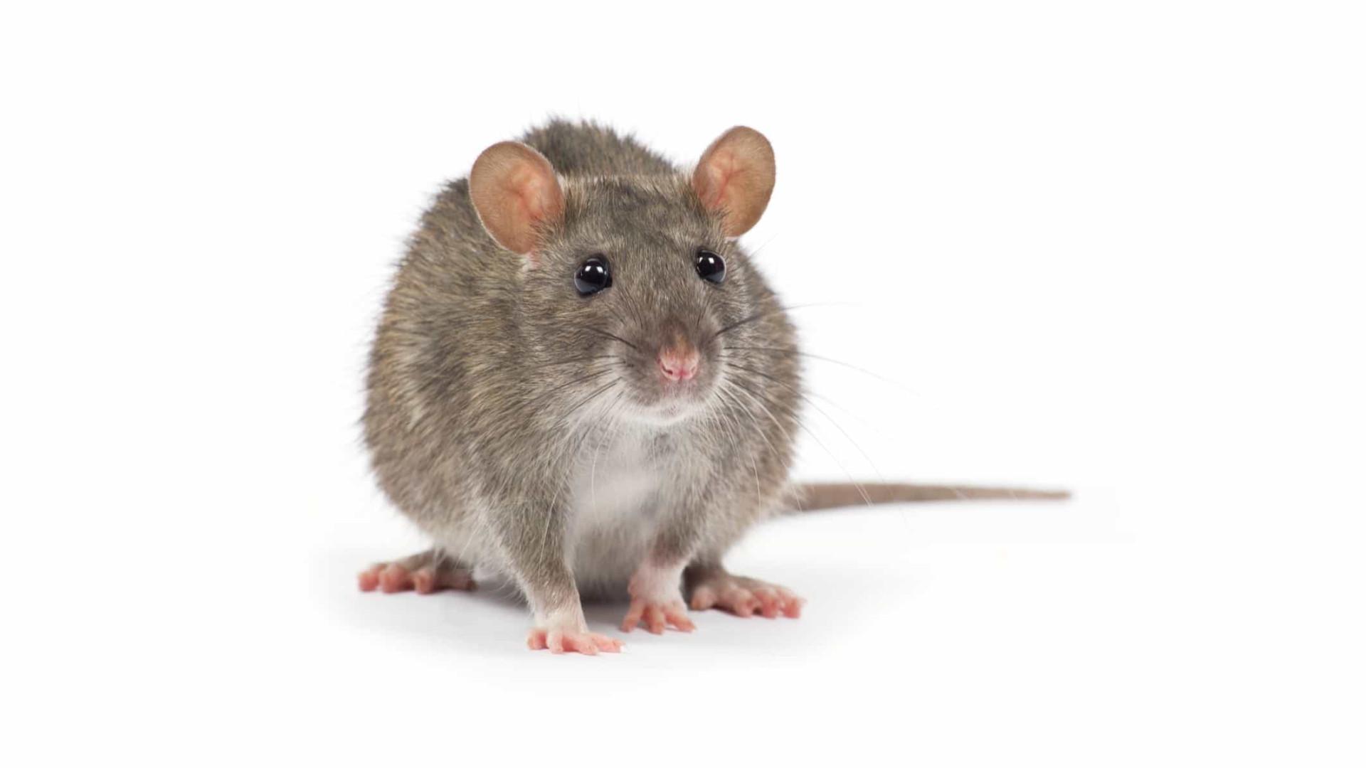 Cientistas japoneses querem criar híbridos entre humanos e animais