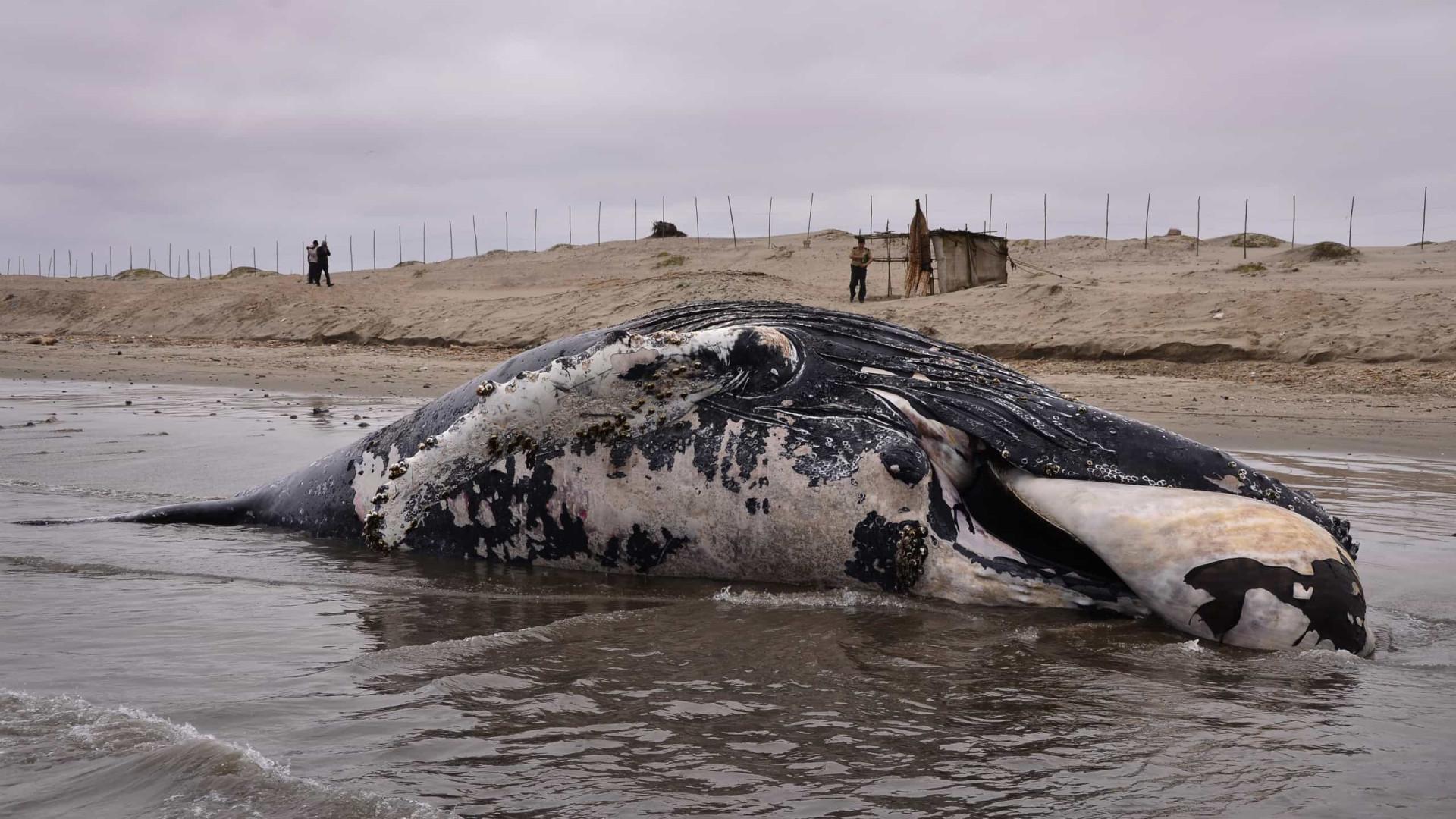 Carne de baleia que encalhou em Salvador vira churrasco