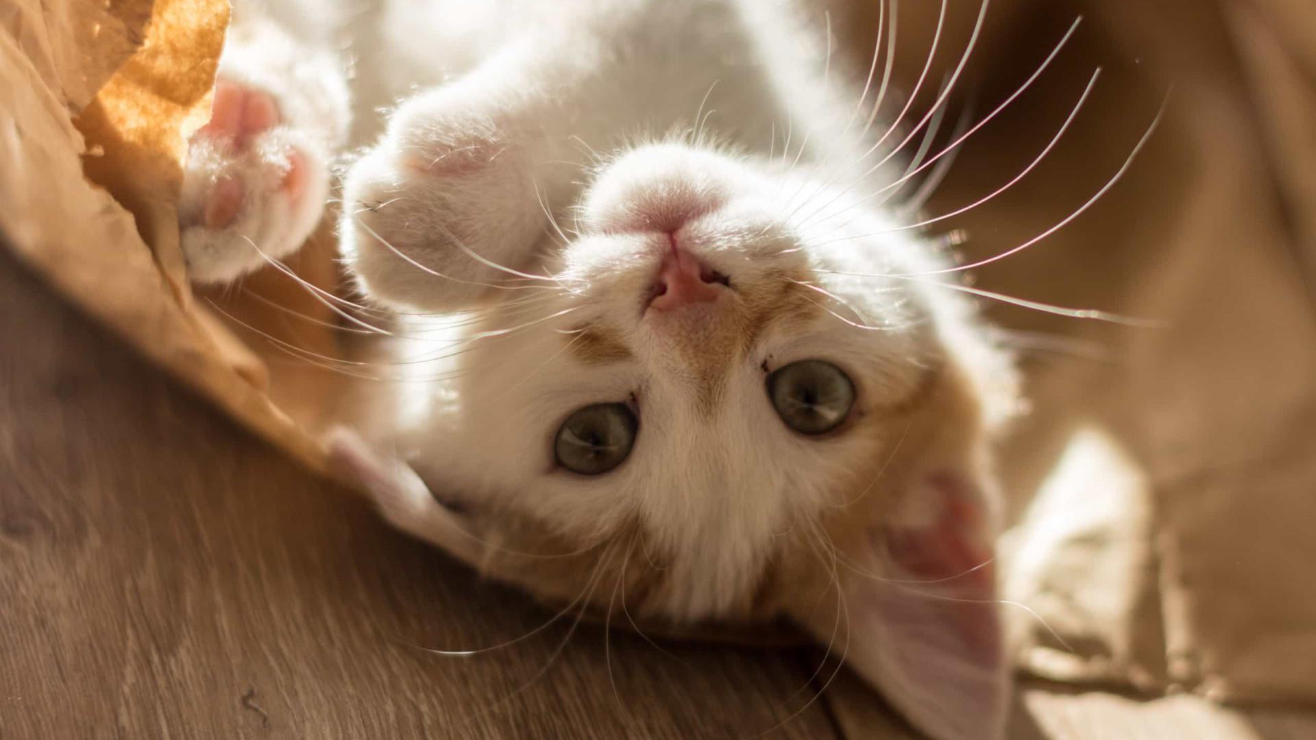 Quatro curiosidades surpreendentes sobre os gatos domésticos