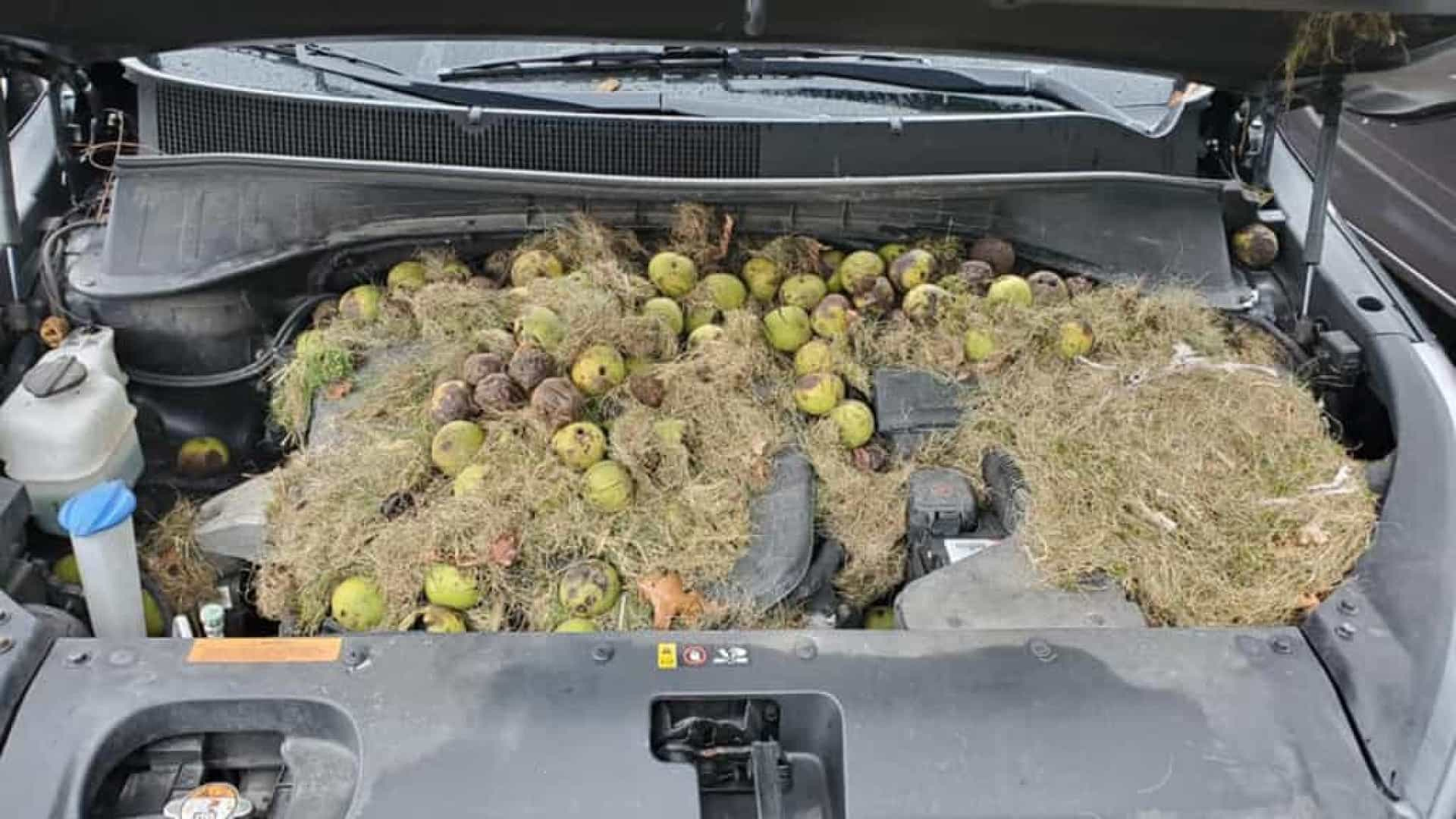 Esquilos escondem mais de 200 nozes debaixo de capô de carro