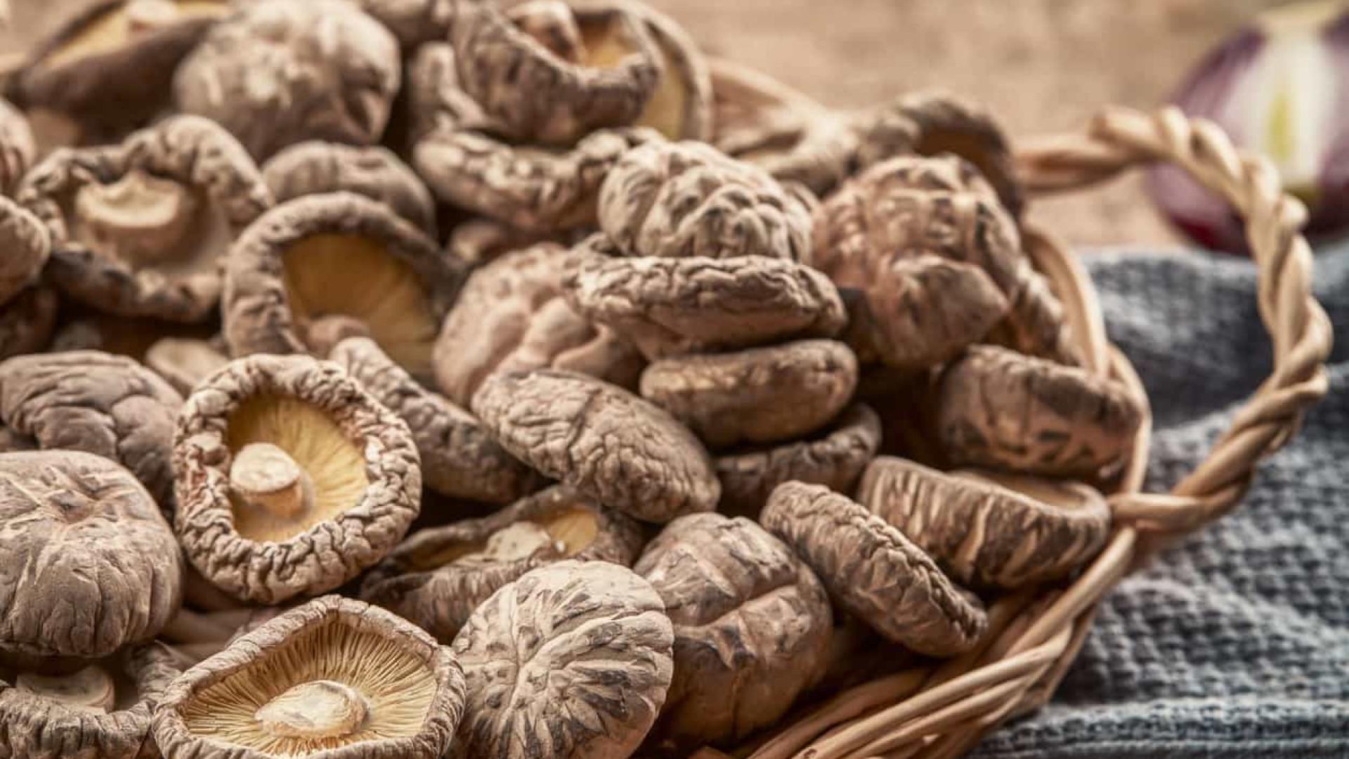 Investigação revela potencial antibacteriano dos cogumelos shiitake
