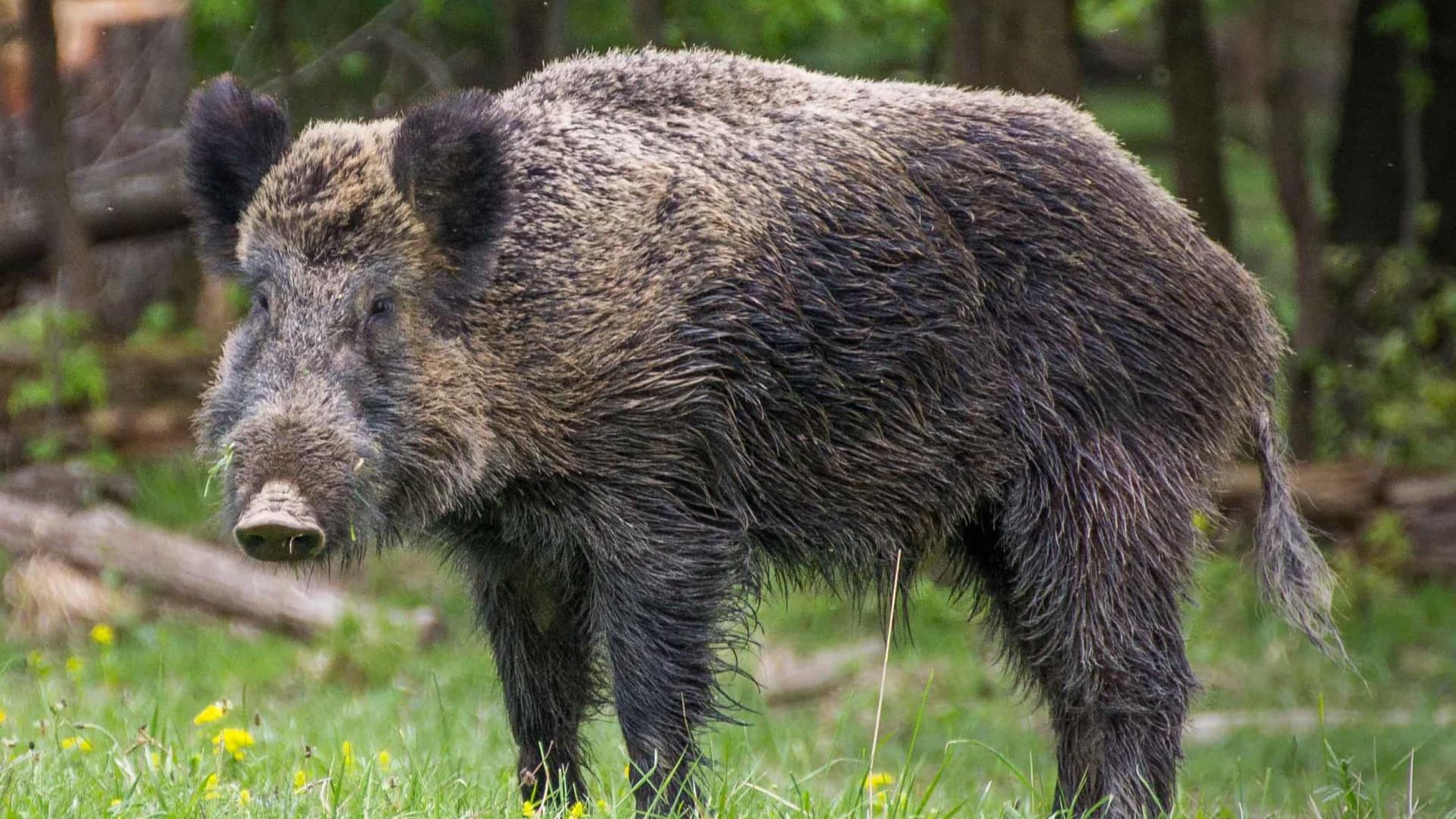 Javalis selvagens cheiraram cocaína escondida em floresta italiana