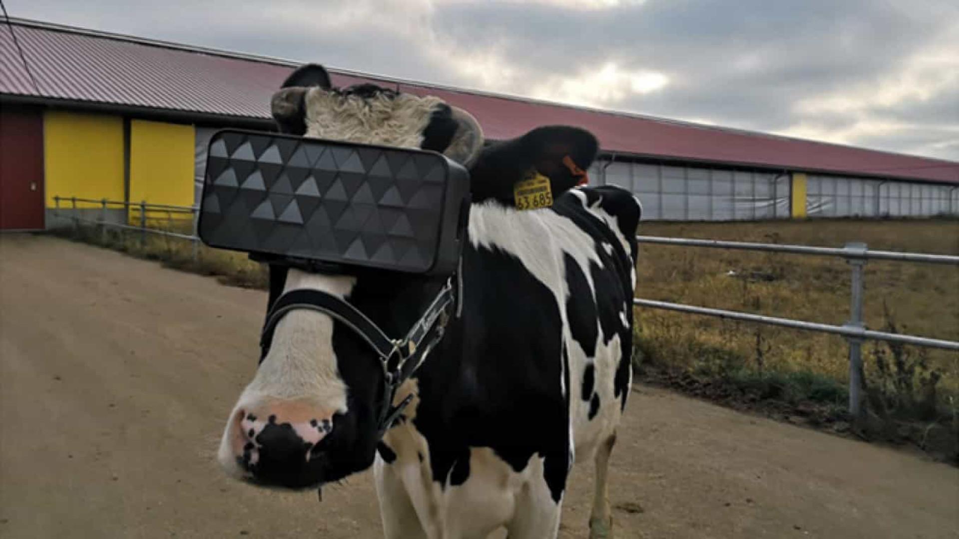 Agricultores russos testam efeito de Realidade Virtual em vacas