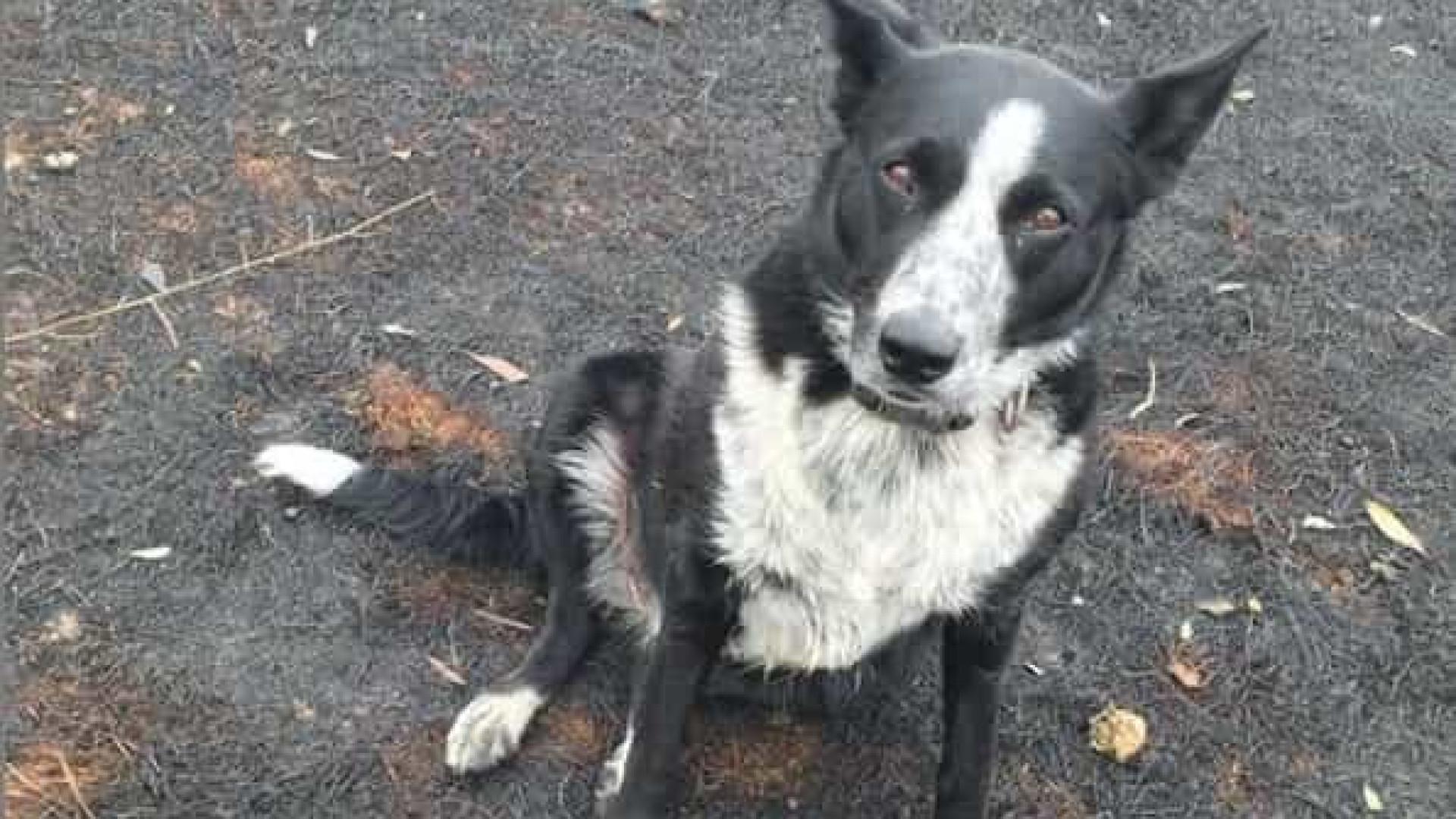 Cadela ajuda a salvar cerca de 900 ovelhas dos fogos