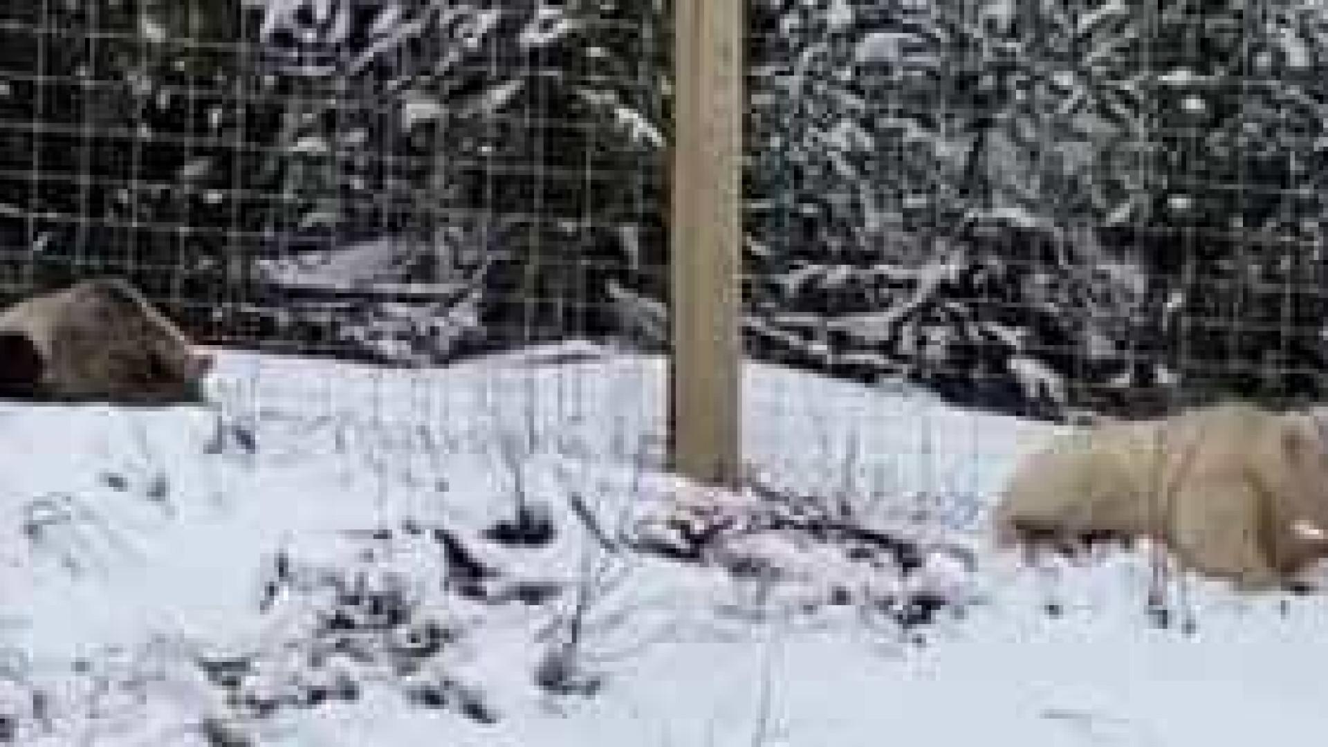 Urso pardo com pelo branco é captado em vídeo no Canadá