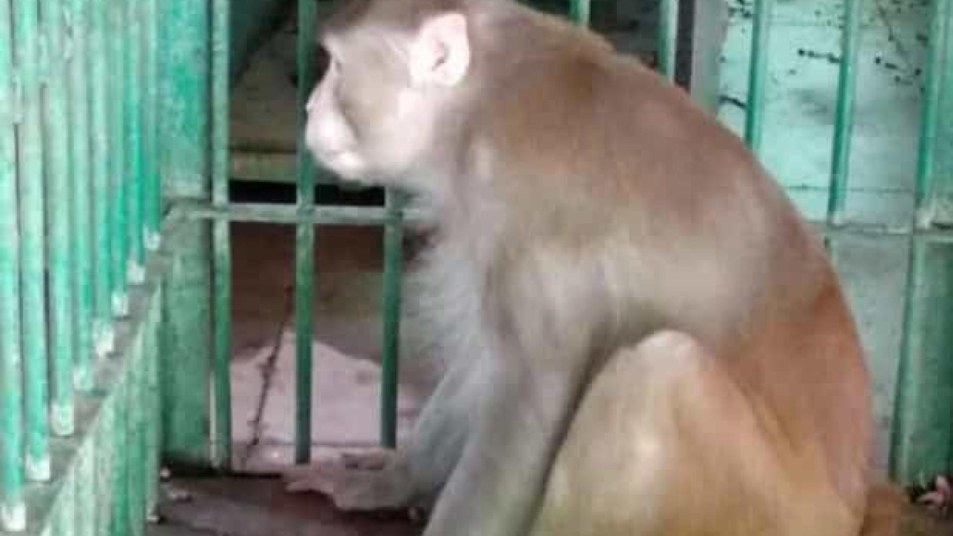 Macaco embriagado fica preso após matar uma pessoa e atacar outras 250