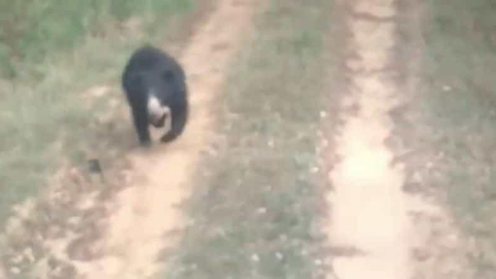 Urso ataca equipe que o libertou e fere gravemente 2 pessoas. Veja!