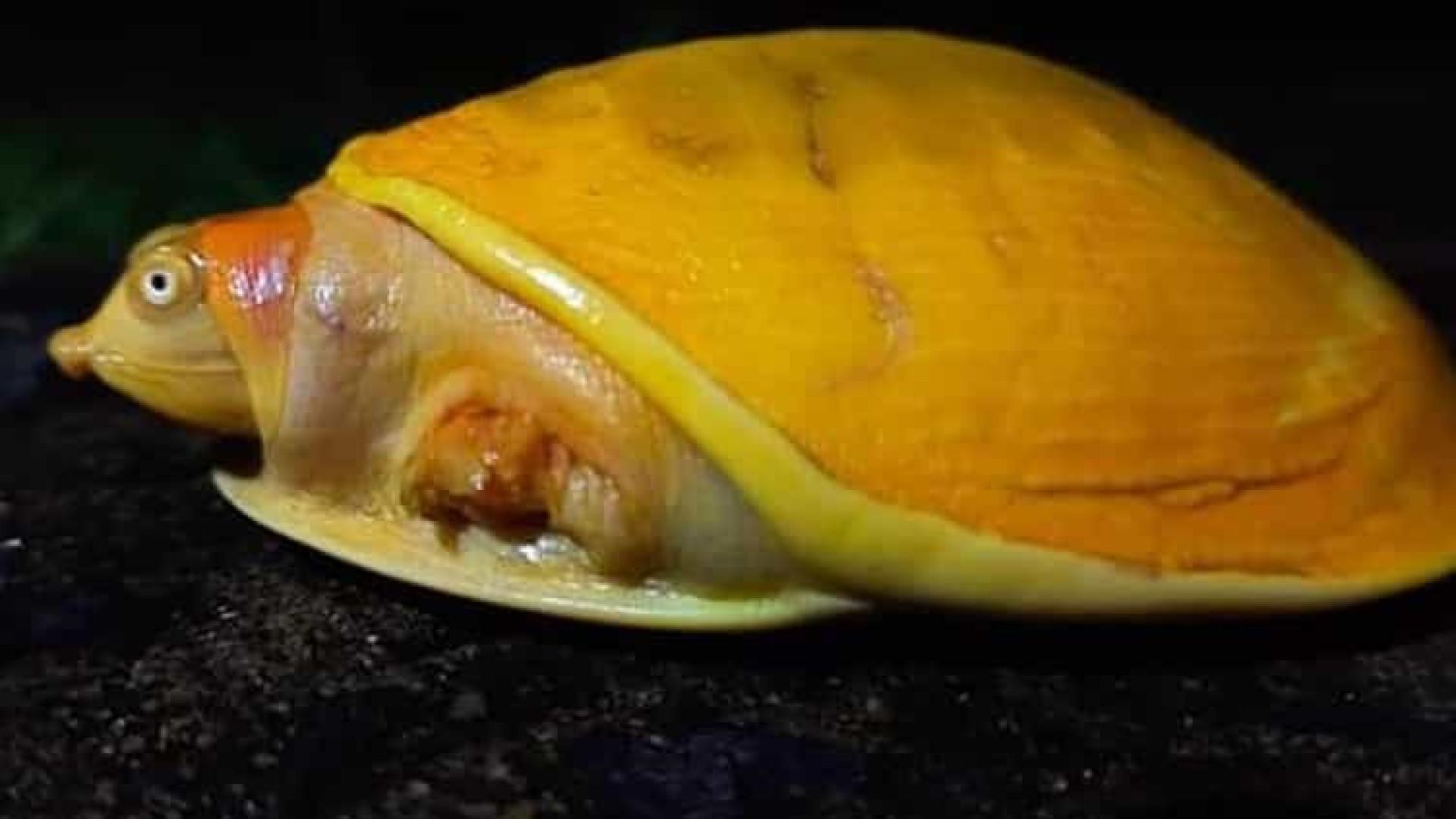 Descoberta rara tartaruga amarela na Índia