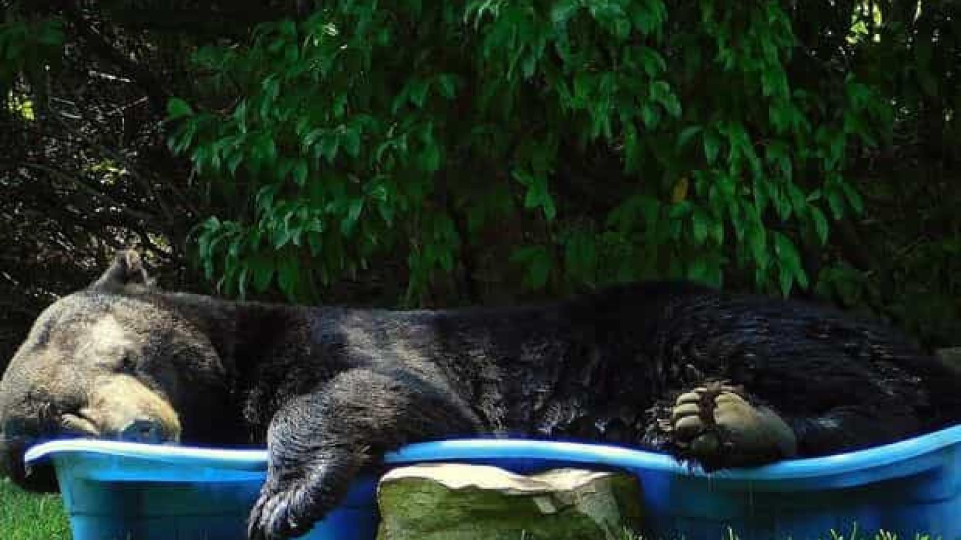 Urso gigante invade quintal nos EUA e tira cochilo em piscina infantil