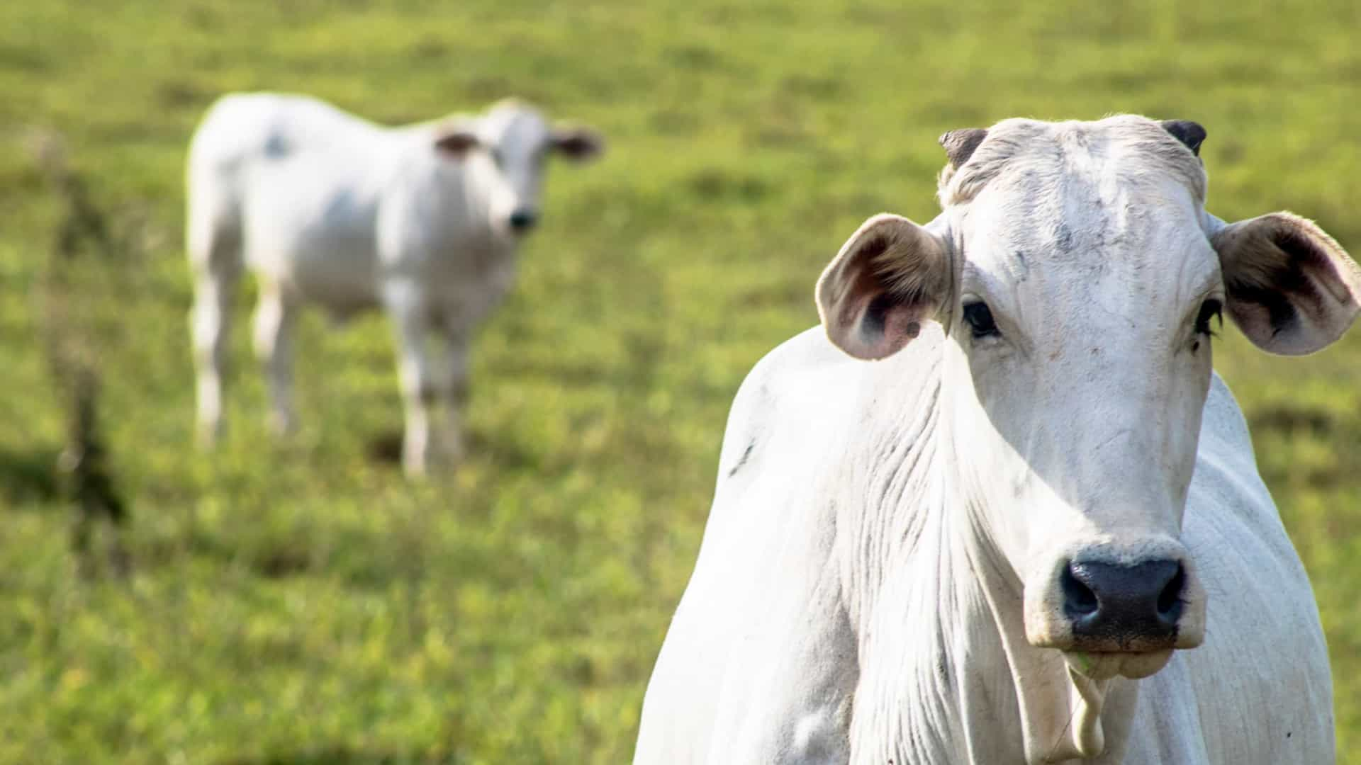 Empresa cria método ultrarrápido para testar maciez da carne bovina