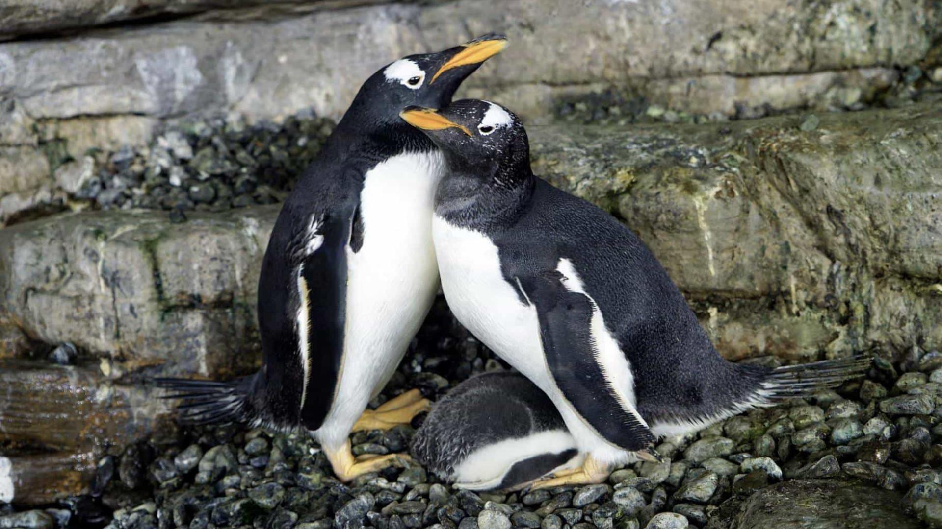 Casal de pinguins do mesmo sexo dá as 'boas-vindas' à sua primeira cria