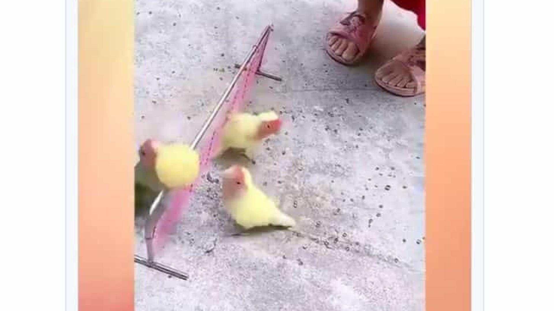 Pássaros jogando volêi? Sim e as imagens já são virais